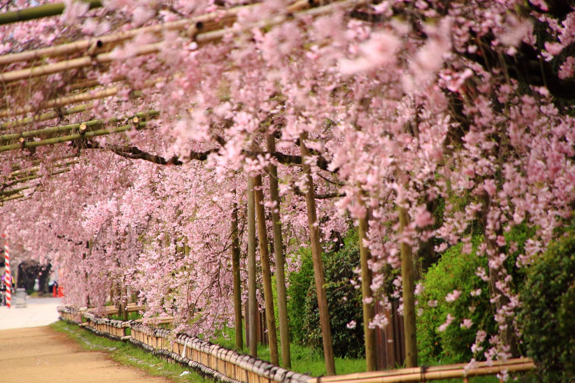 半木の道の華やかなピンクの桜のトンネル