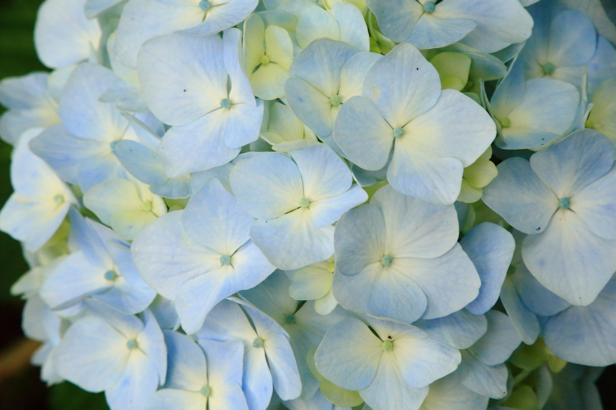 薄い水色とやや黄色も入った感じの優しげな紫陽花