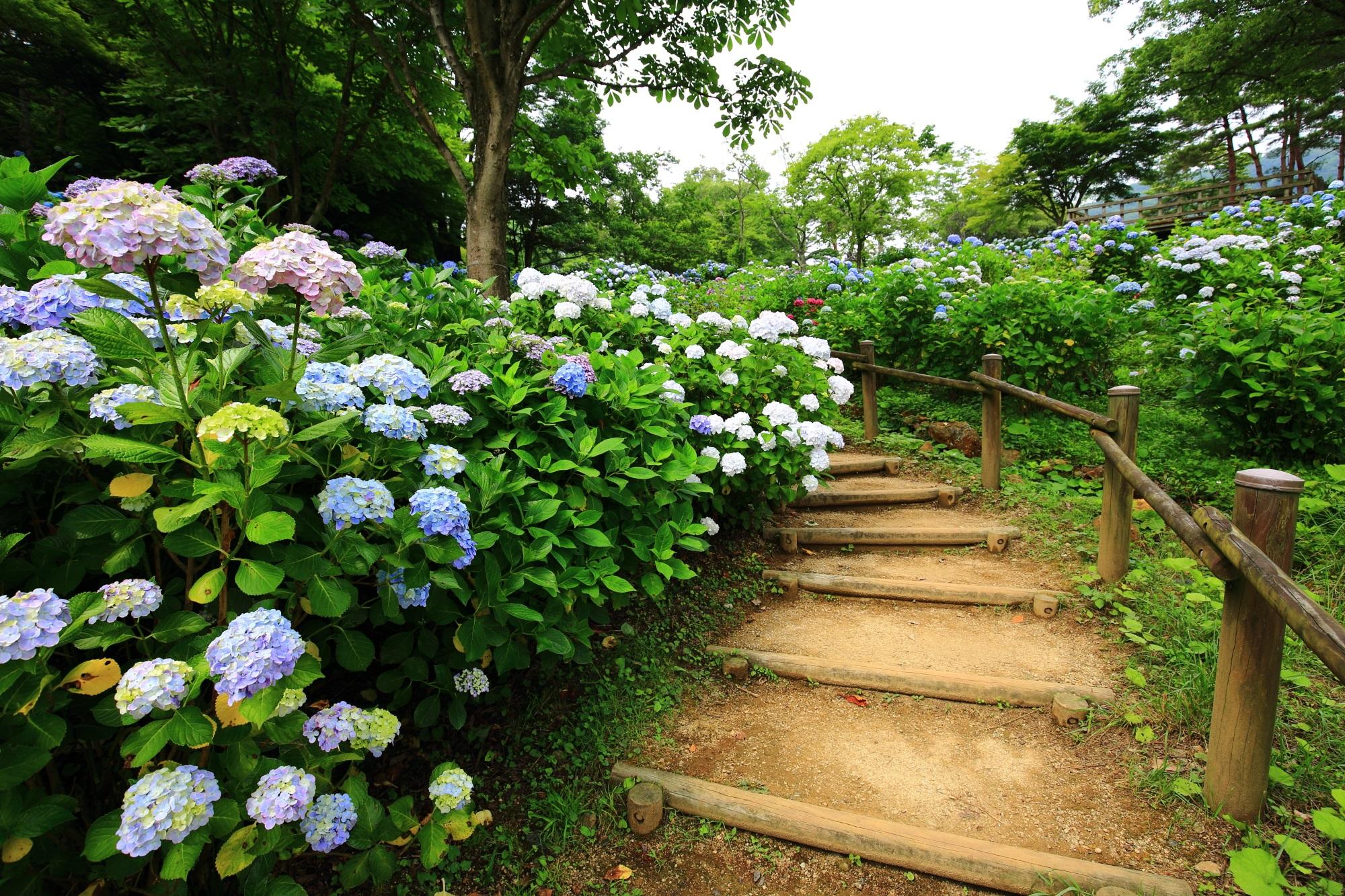 濃い色から薄い色までいっぱいの紫陽花がある舞鶴自然文化園