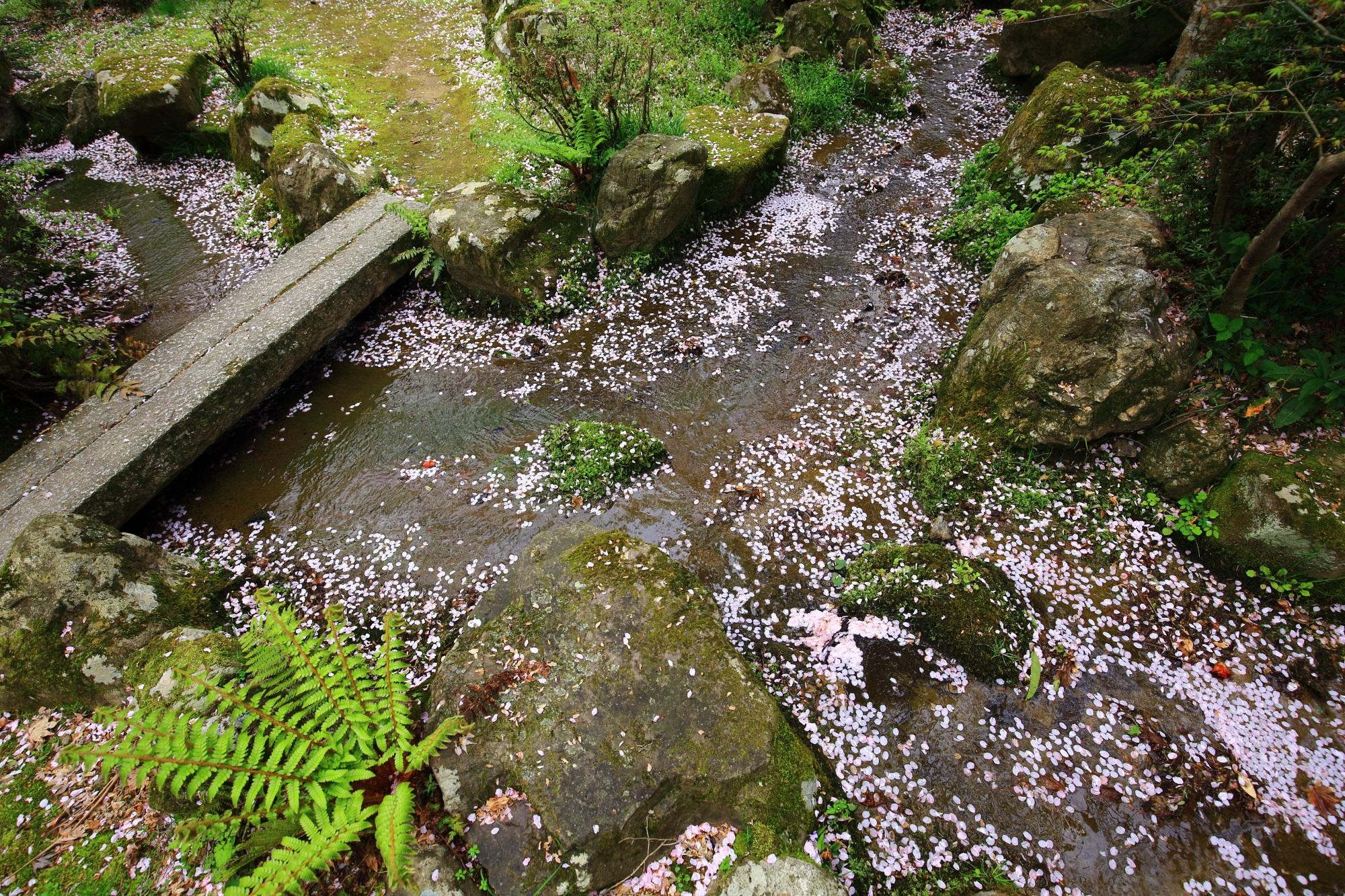 勝持寺の「三春川」の散り桜