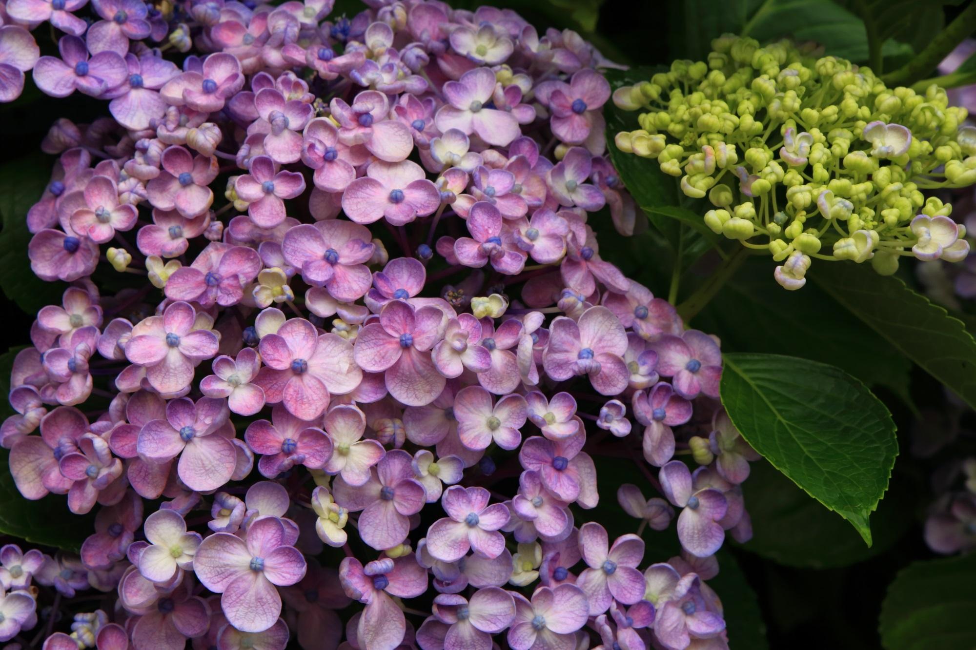 赤が強めのほのかな紫色のお多福紫陽花