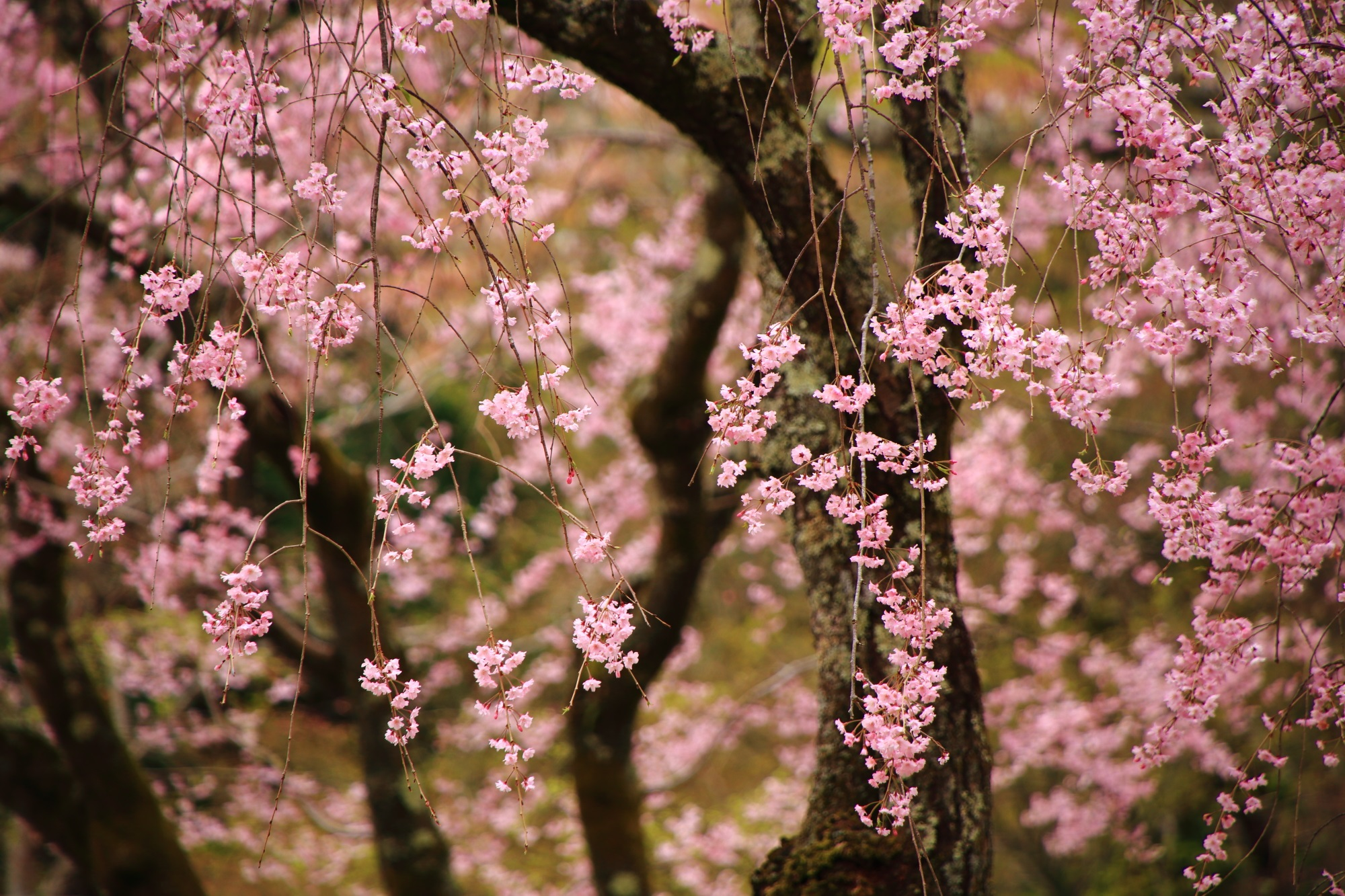 勝持寺の優雅になびく華やかなしだれ桜
