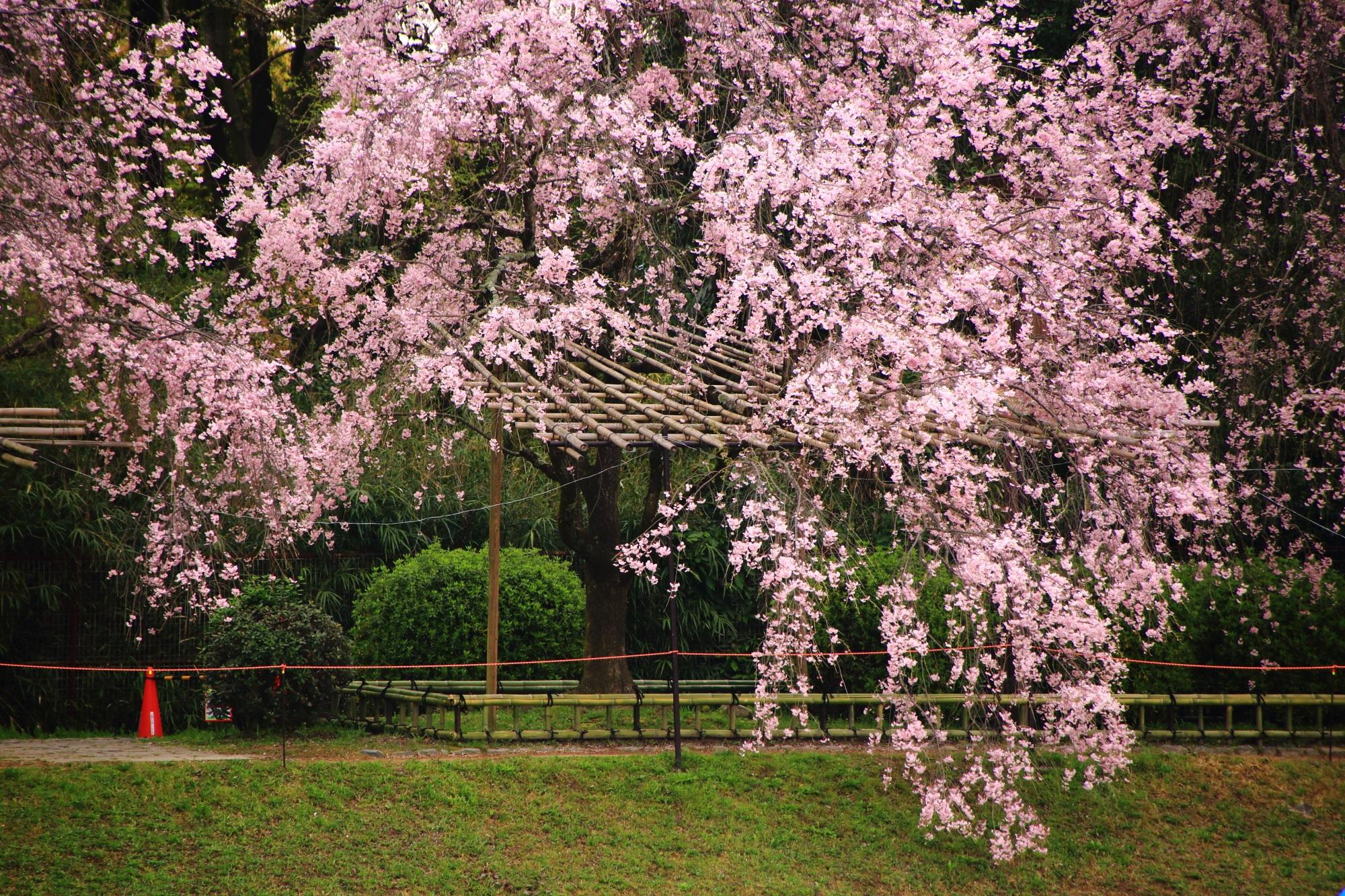 弾け飛ばんとばかりに咲き乱れる圧巻のしだれ桜