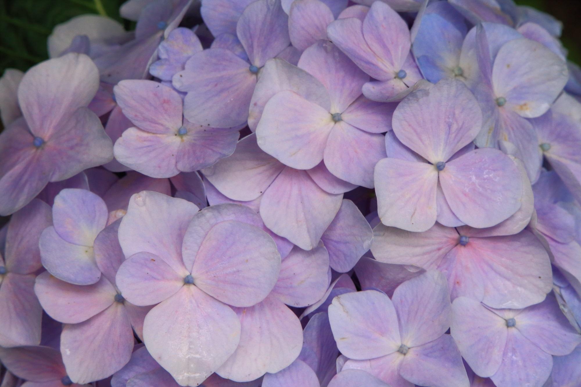 丹波あじさい寺のほのかなピンクが入った淡い色合いの見事な紫陽花