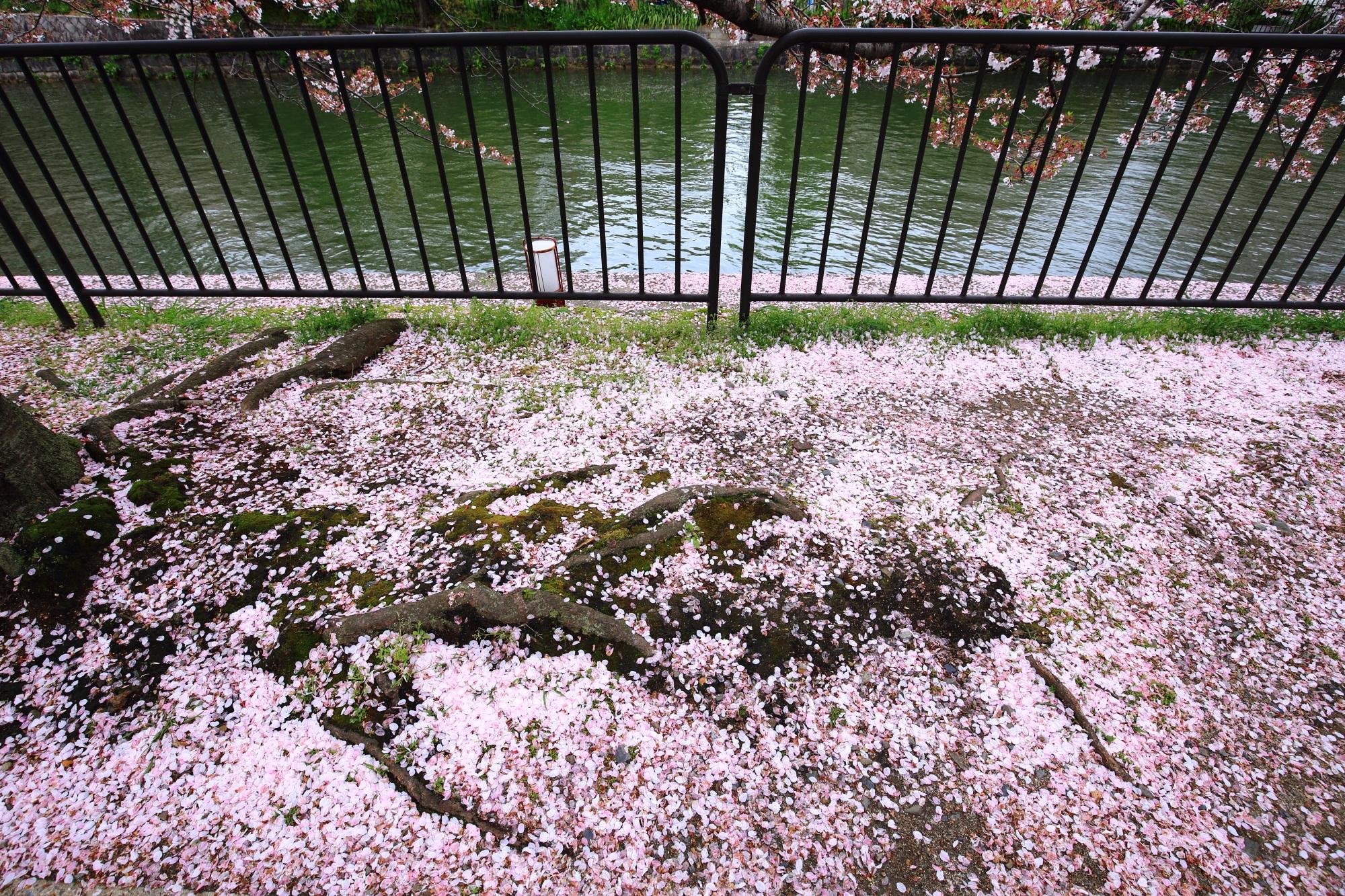 高画質 写真 散り桜 岡崎疏水