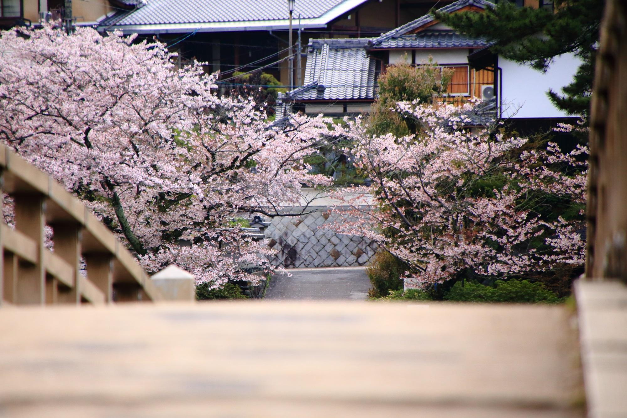 橘橋と桜の風情ある春の情景