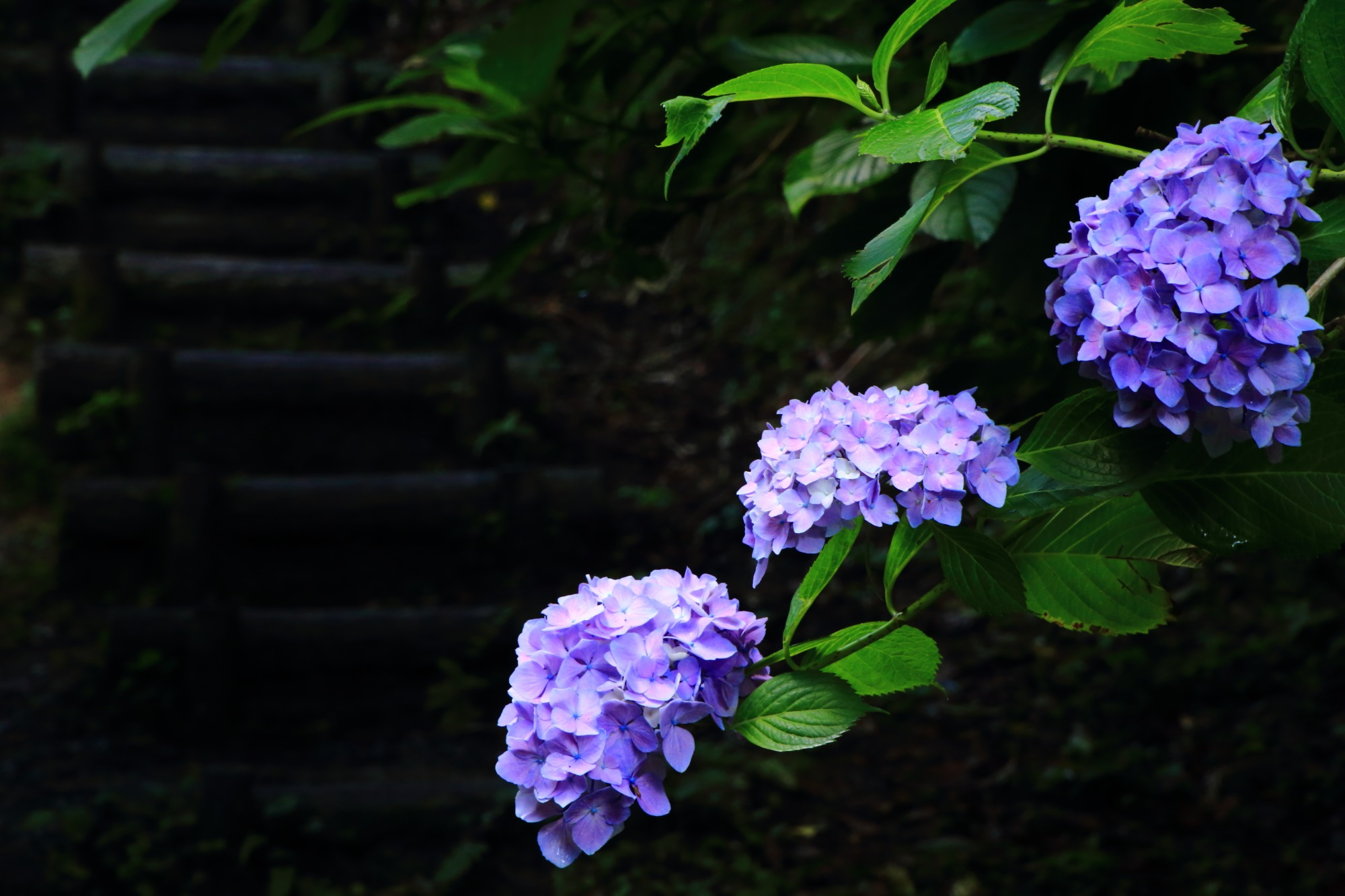 岩船寺の広場(休憩所)やそこに通じる参道に咲く色とりどりの紫陽花