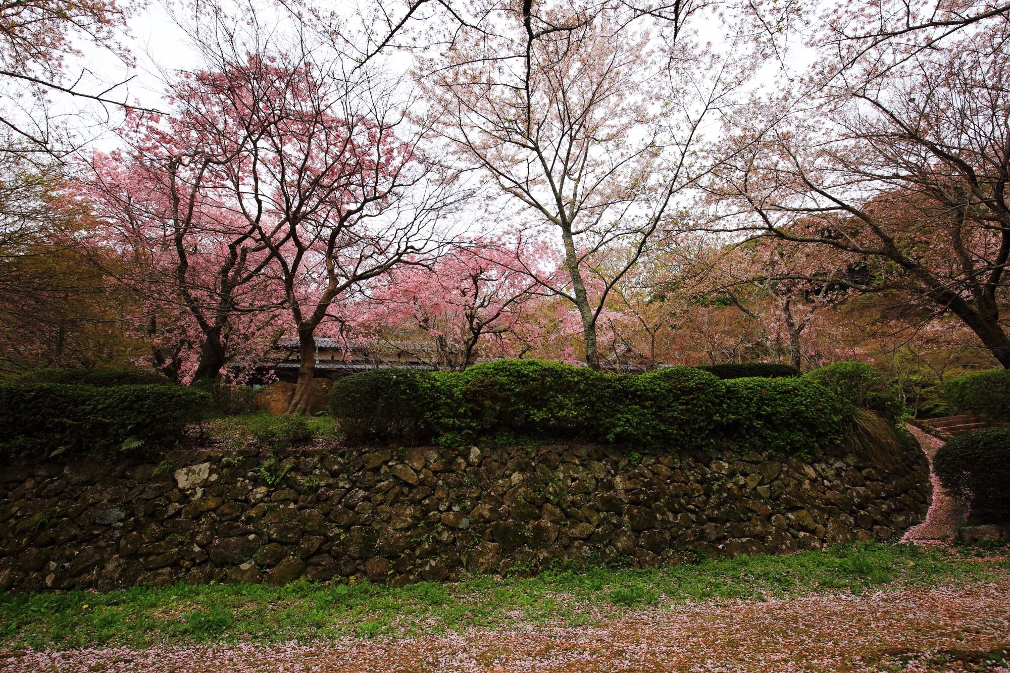 勝持寺の「桜ヶ丘」の桜