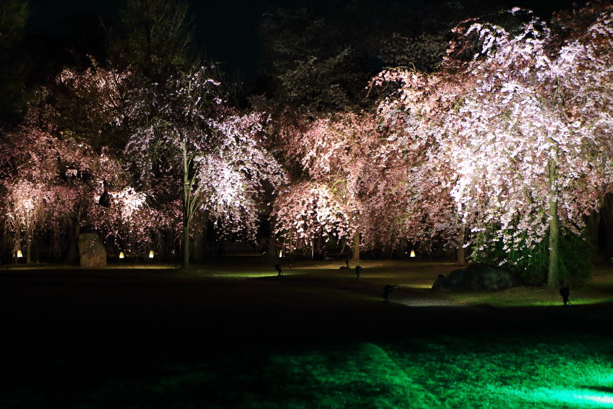 清流園のしだれ桜のライトアップ