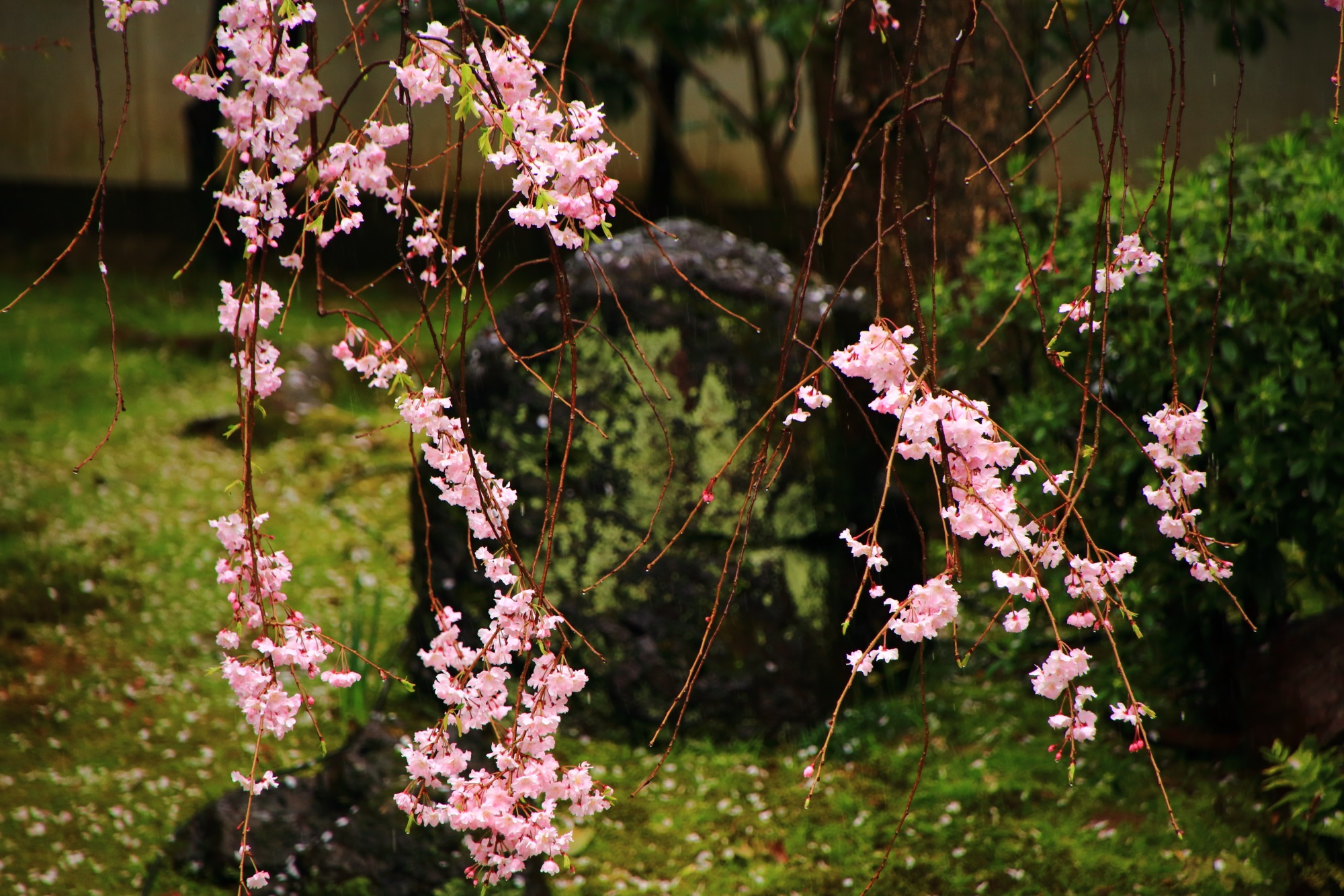 Kyoto Shoden-eigenin Temple cherry blossoms