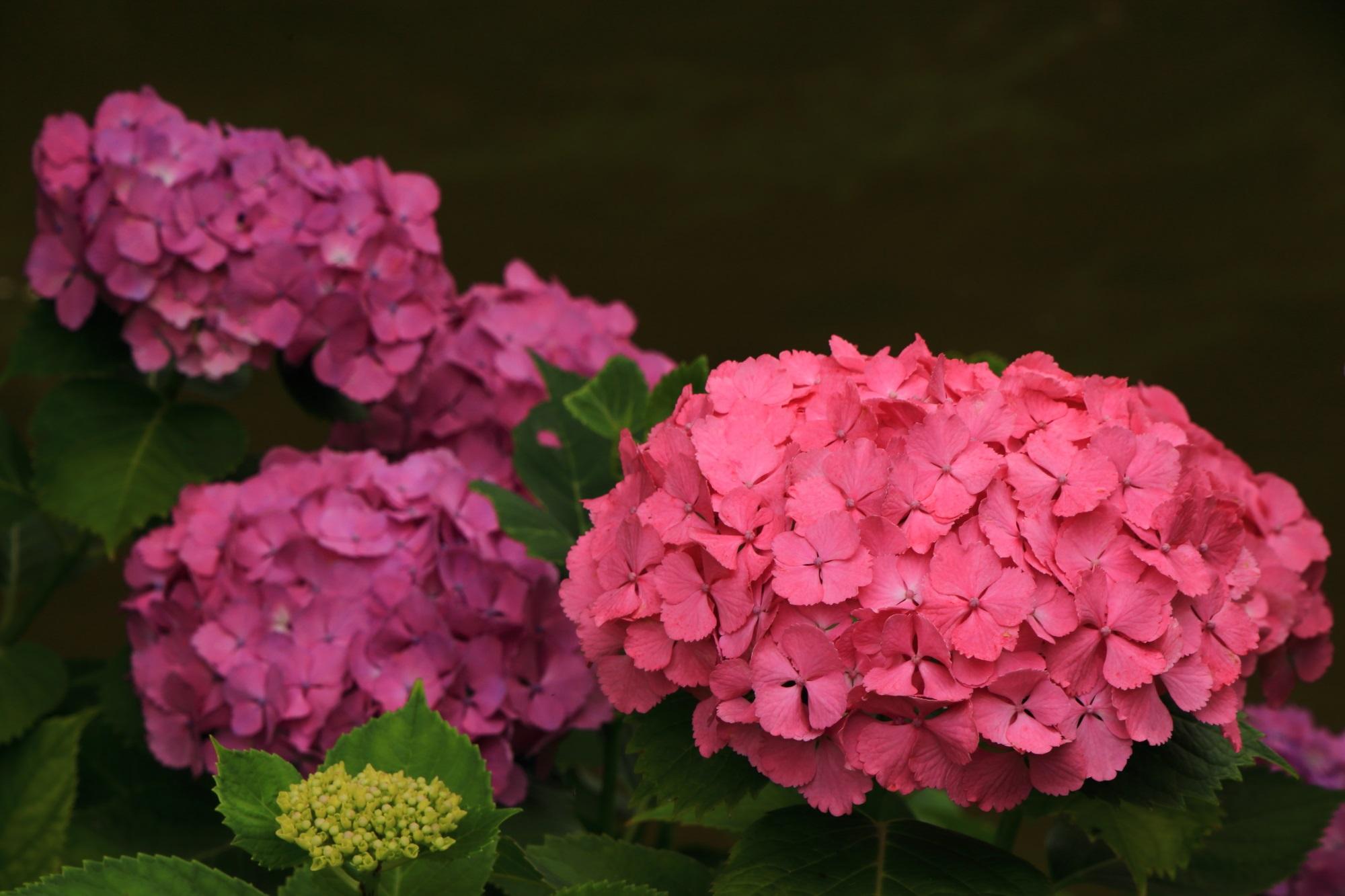 赤に近い鮮やかなピンクの紫陽花