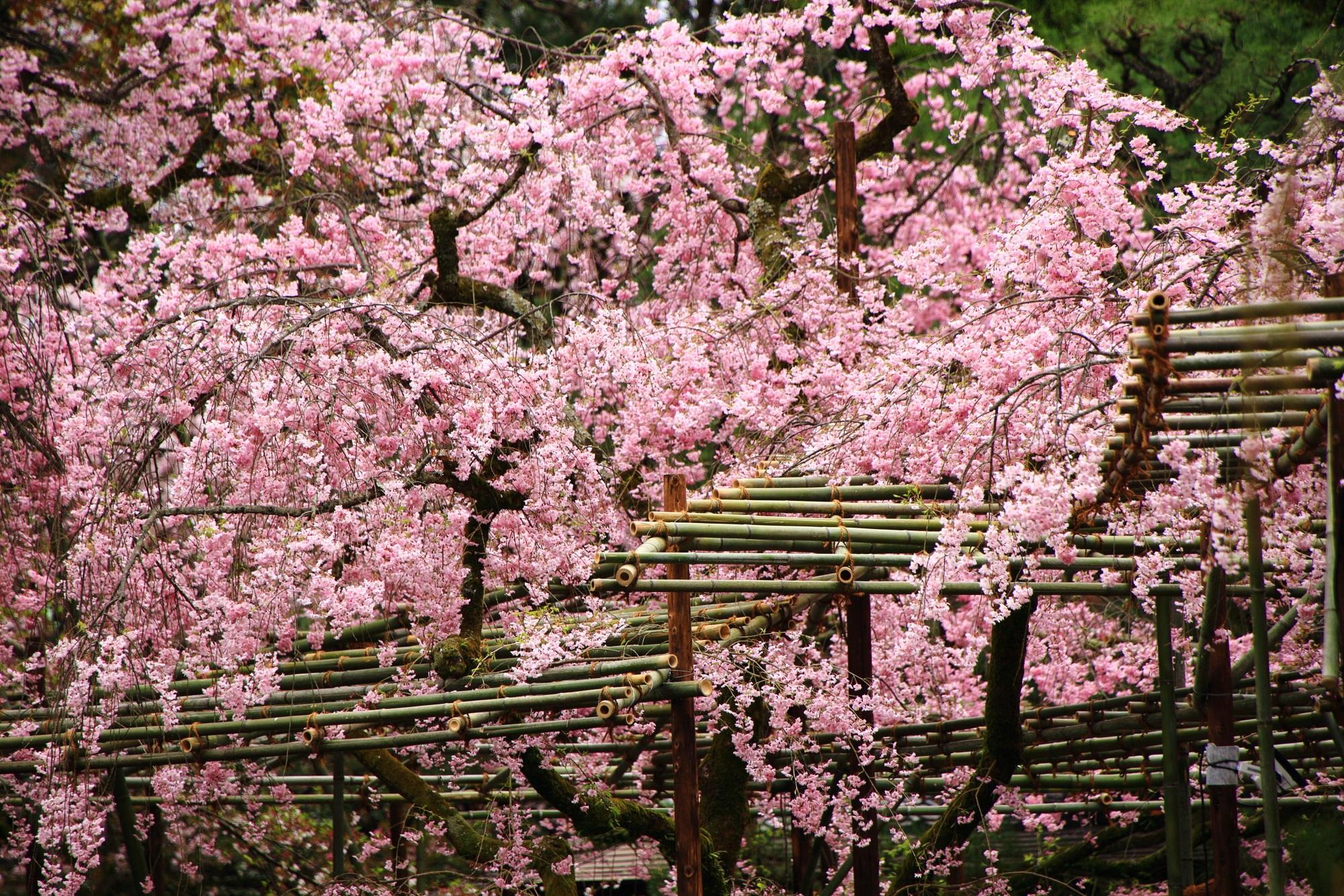 ピンクの桜の花で賑わう平安神宮の神苑