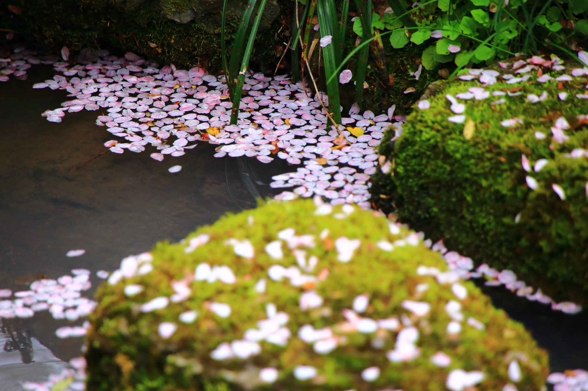 小川をピンクに彩る散り桜