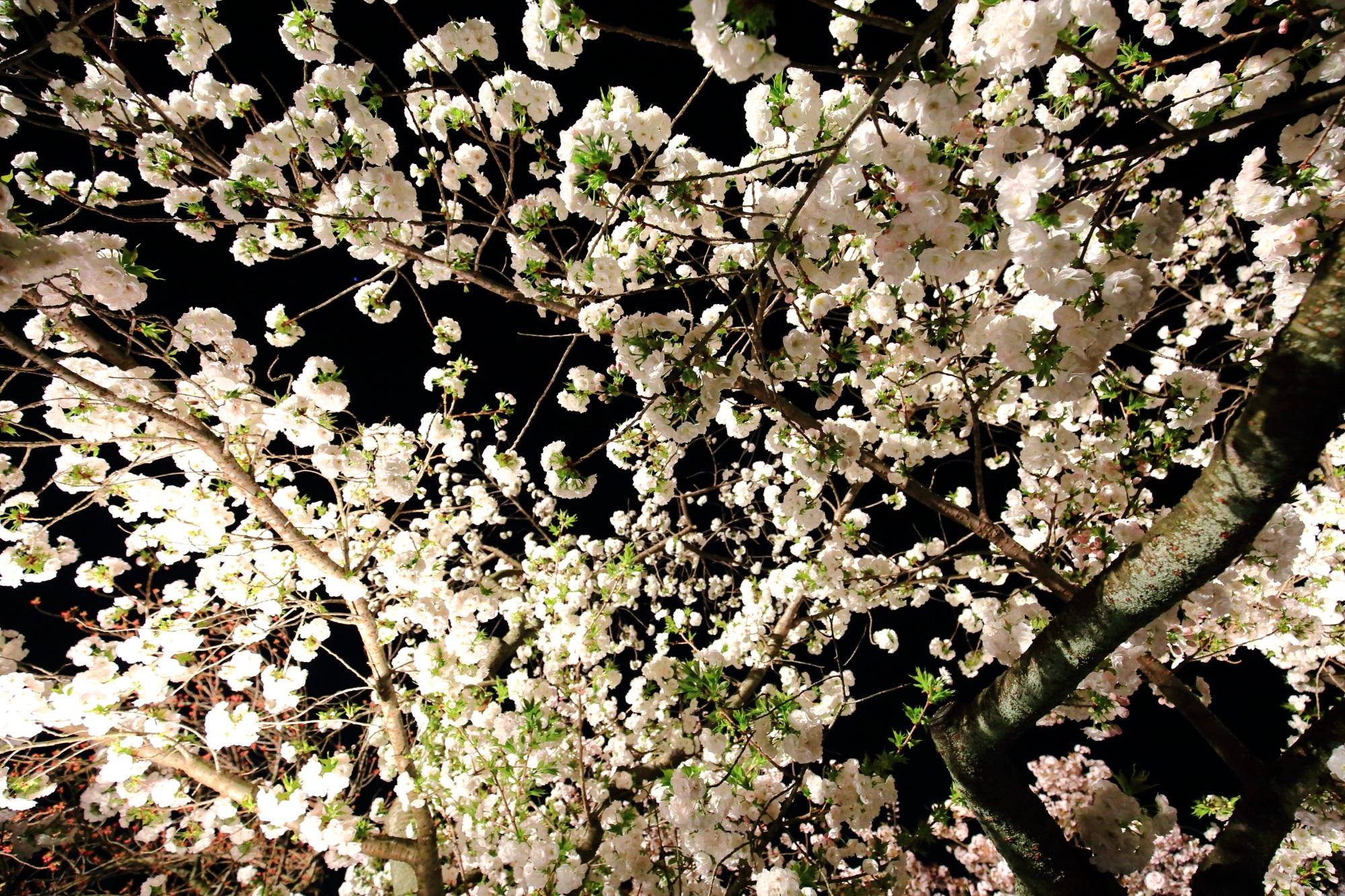 夜空を彩る春色の八重桜の天井