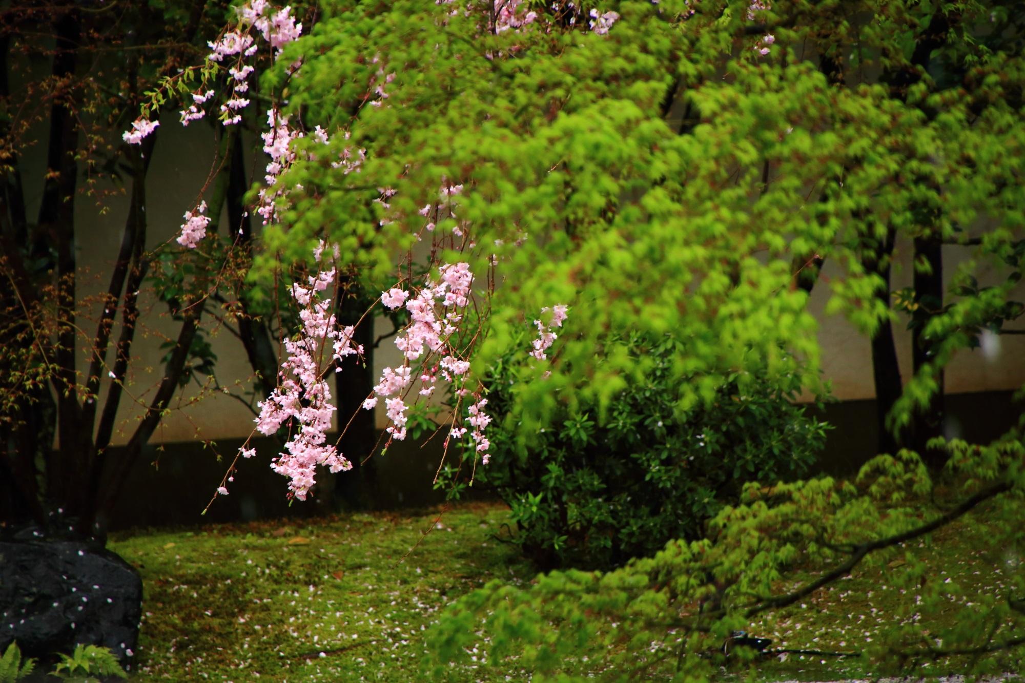 桜の隠れた名所の正伝永源院のしだれ桜と新緑
