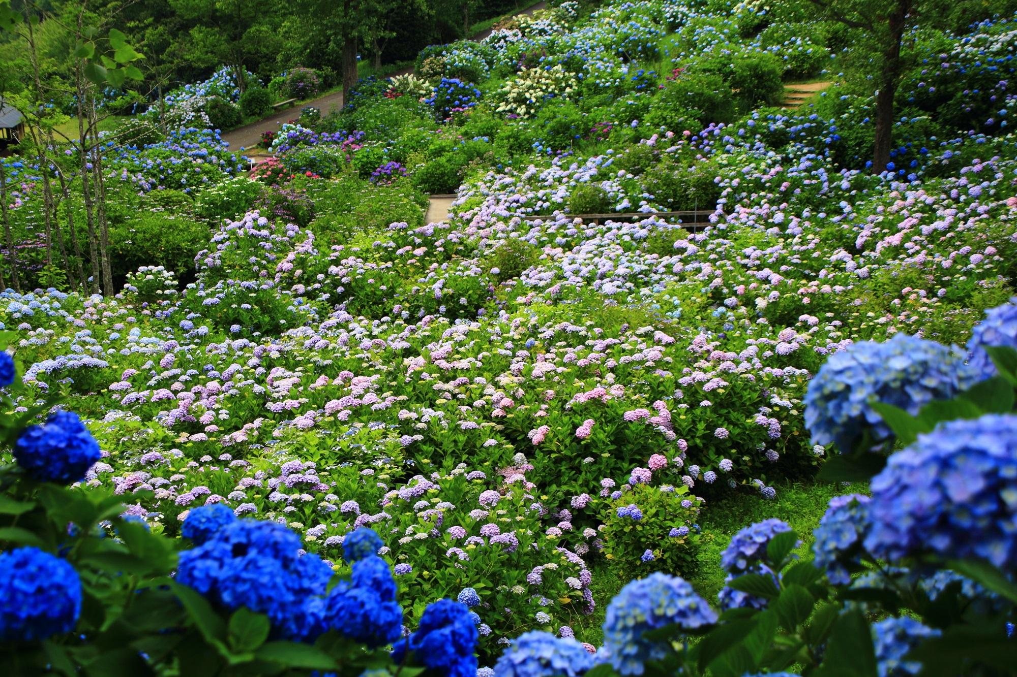 舞鶴自然文化園の素晴らしすぎるアジサイ園(あじさいの海)の紫陽花と情景
