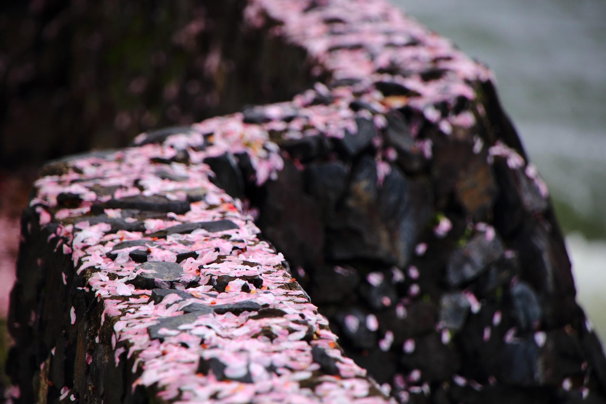 堤防を華やかな春色に染める散った花びら