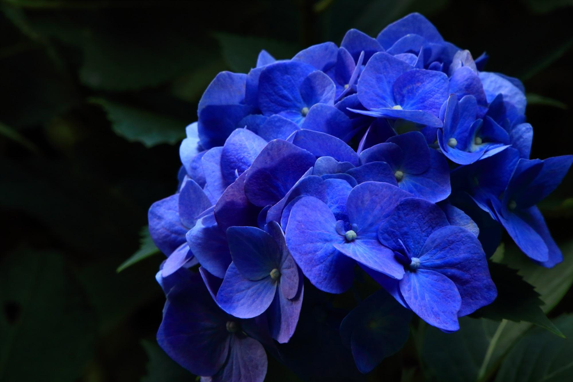 暗闇の中でも輝きそうな色合いのかなり鮮やかな青色の紫陽花
