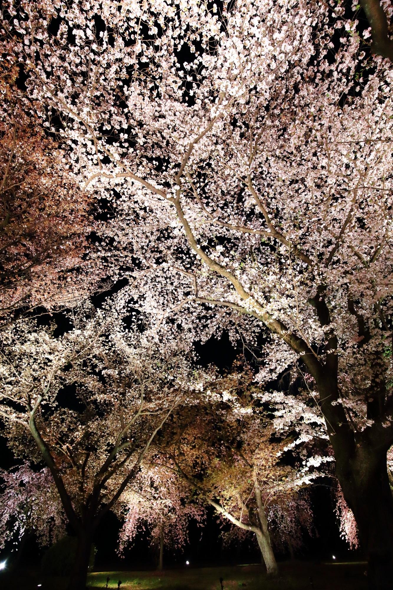 二条城の素晴らしい夜桜ライトアップと春の情景に感謝