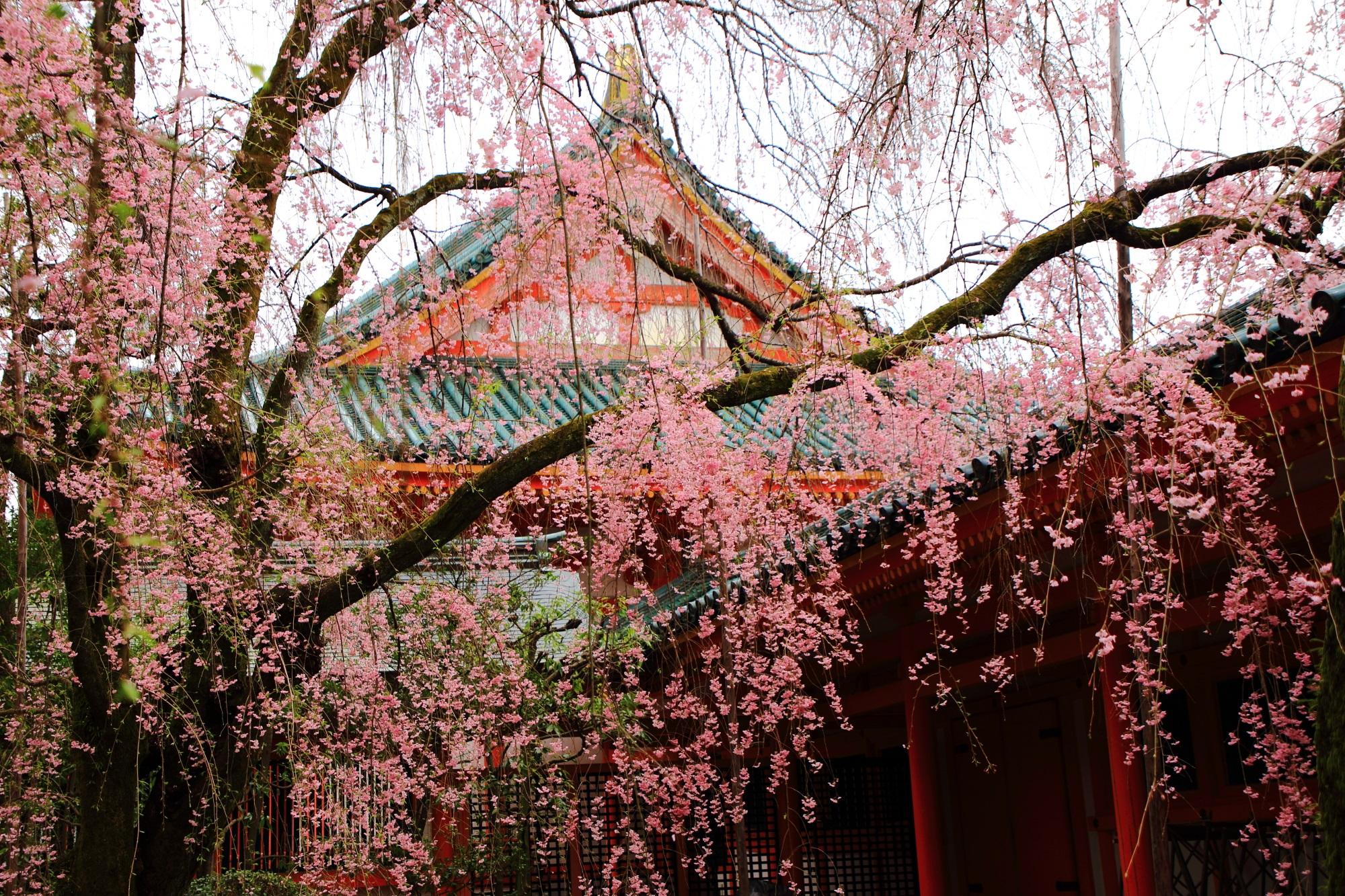 鮮やかな色合いの社殿を染めるピンクのしだれ桜