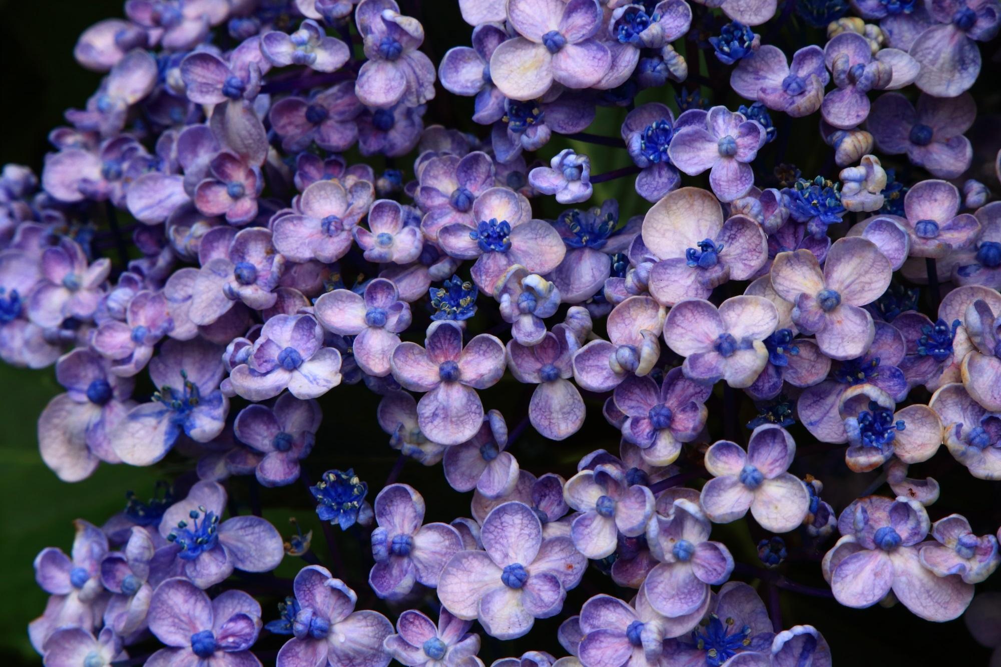 独特の可愛く小さな花びらをしたオタフクアジサイ