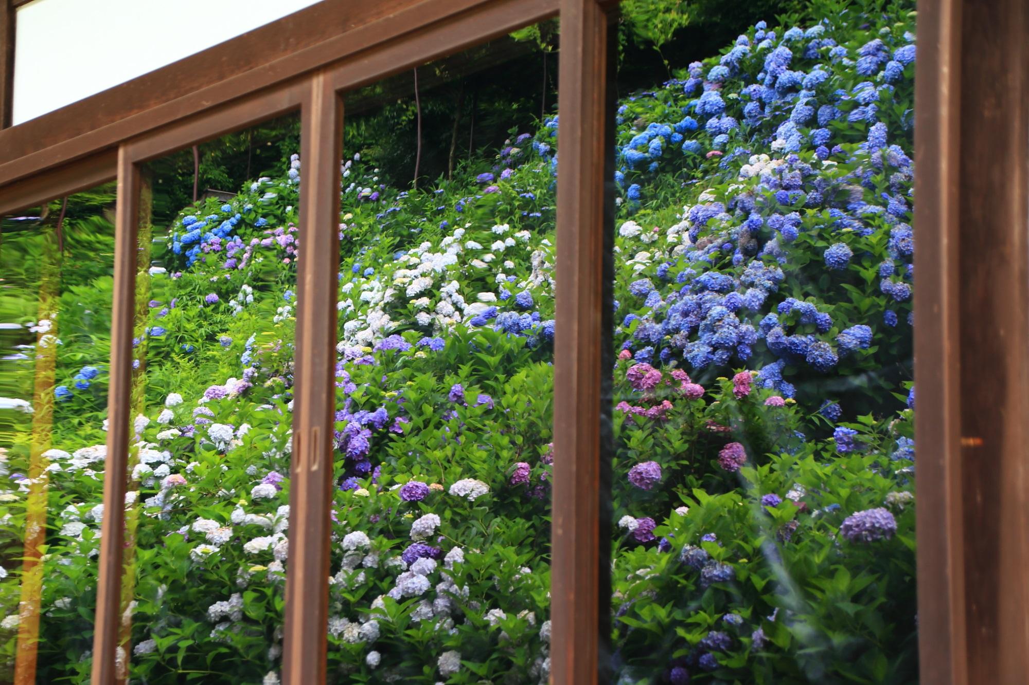 丹州観音寺の伽藍のガラスに映る満開の紫陽花