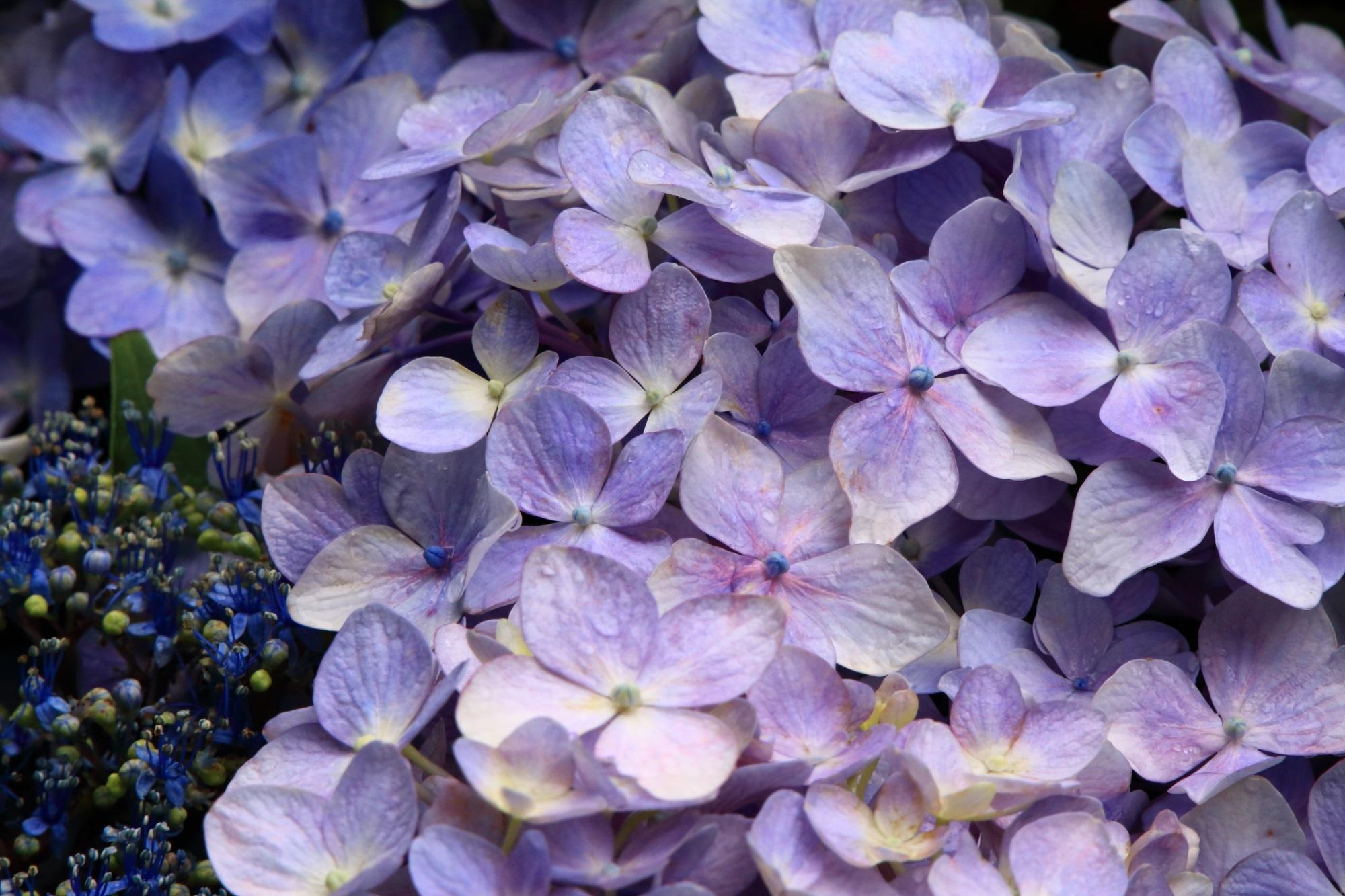 水滴が演出する華やかな紫陽花