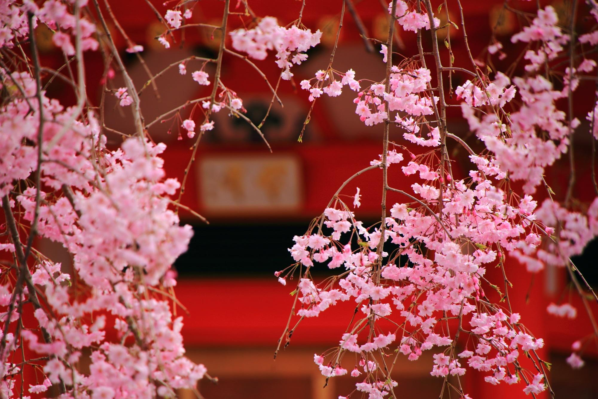 遍照塔の鮮やかな朱色に映える華やかな桜のピンク