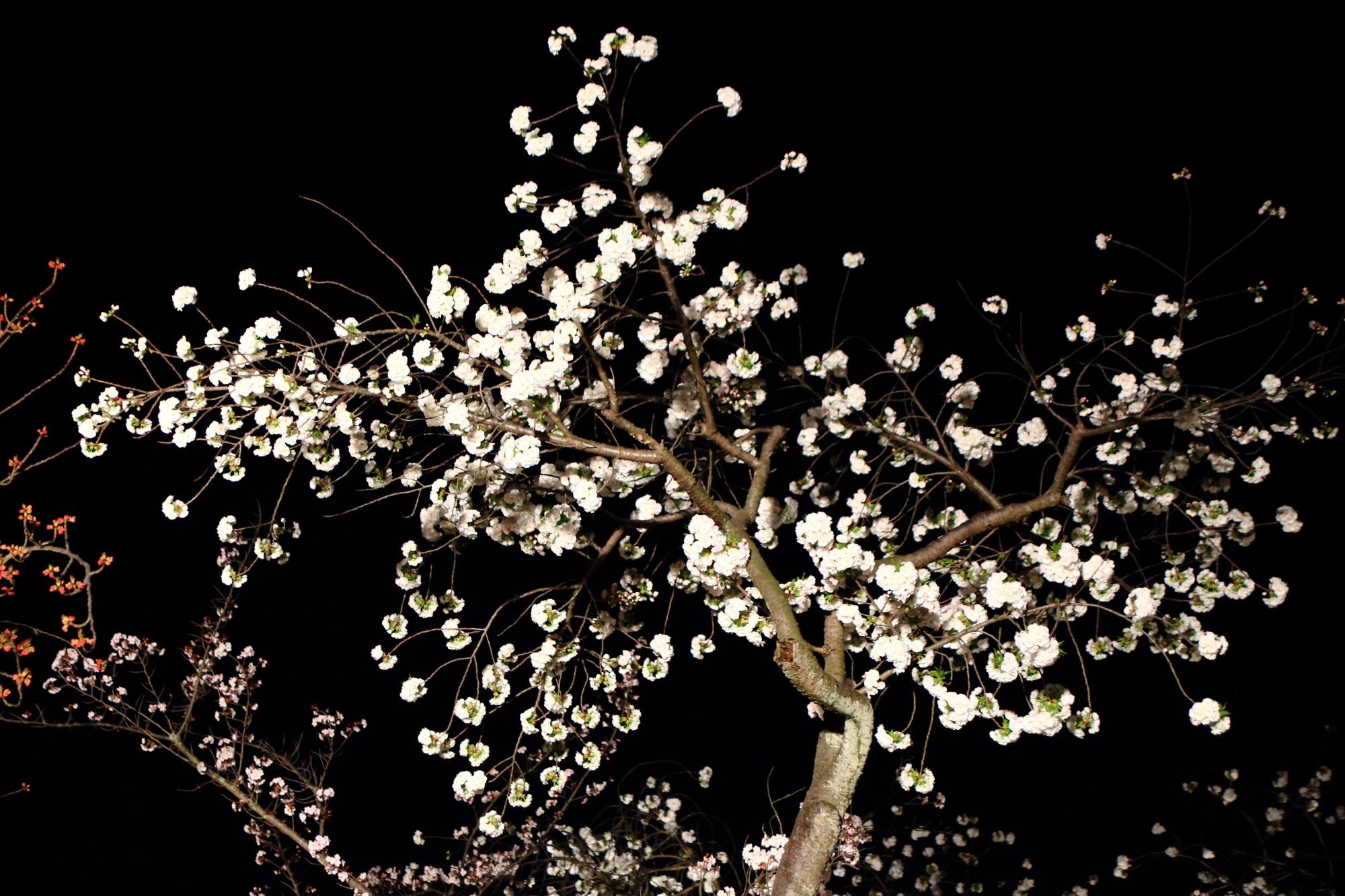 夜空を華やかに彩る白い八重桜