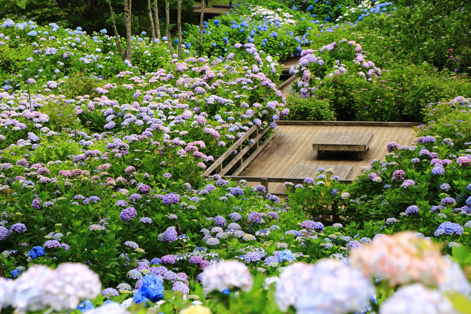 高画質 アジサイ 写真 舞鶴自然文化園