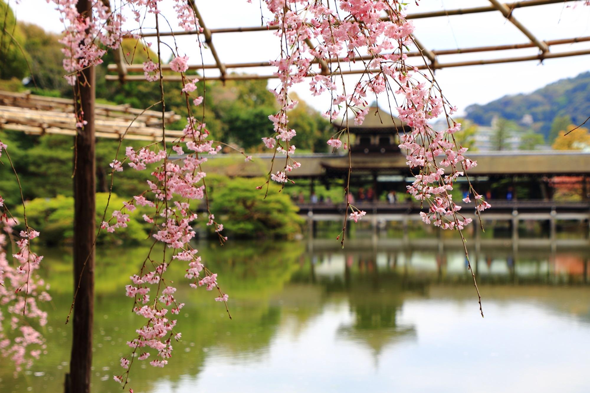 泰平閣(橋殿)を背景としたしなやかな枝垂桜