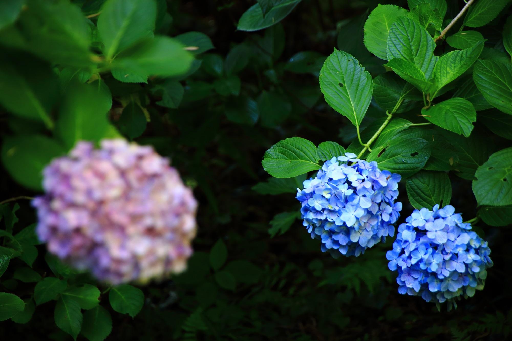 華やかさの中にも風情が感じられる紫陽花