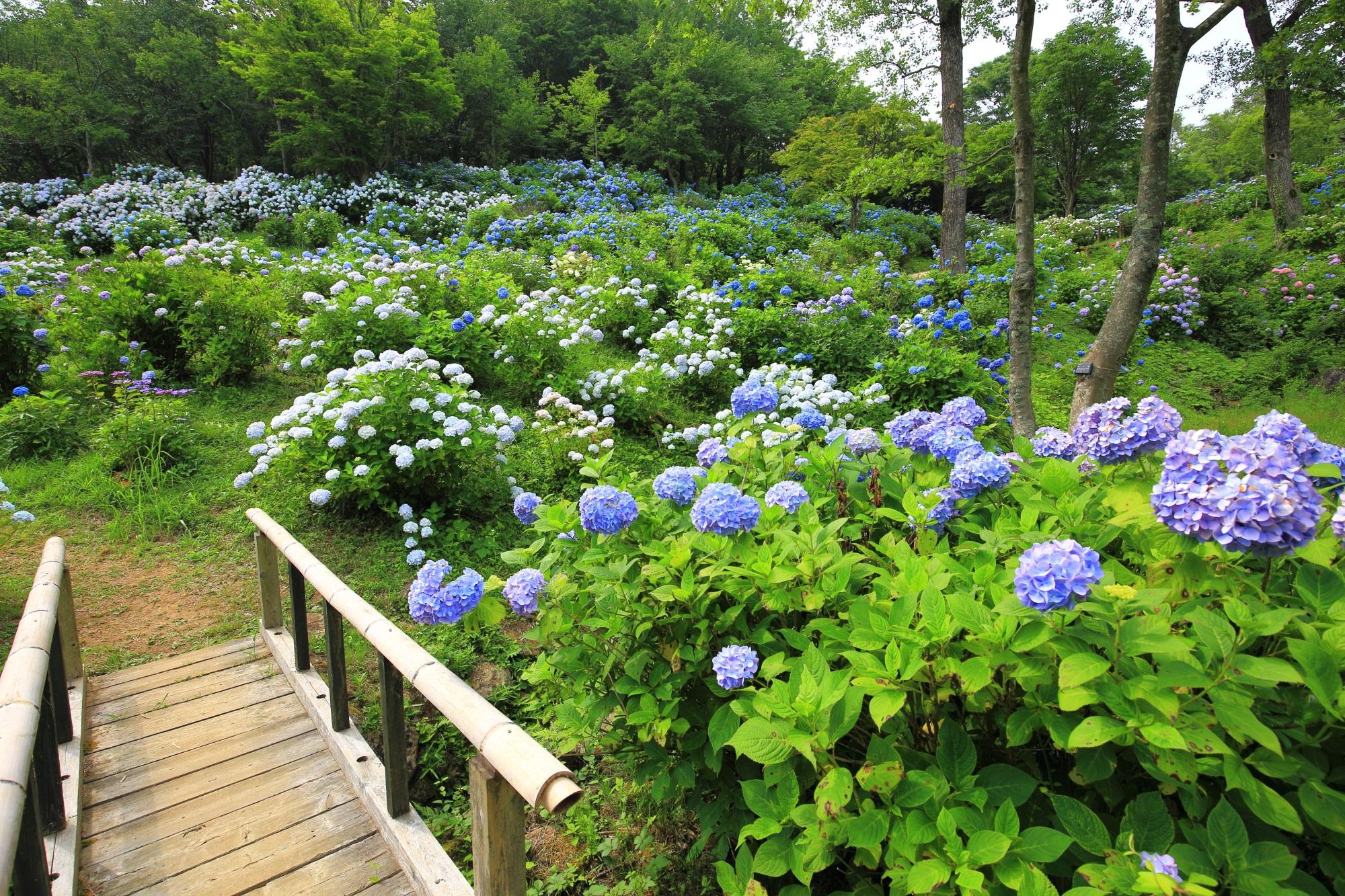 周りは紫陽花でいっぱいの舞鶴自然文化公園のアジサイ園の木の橋