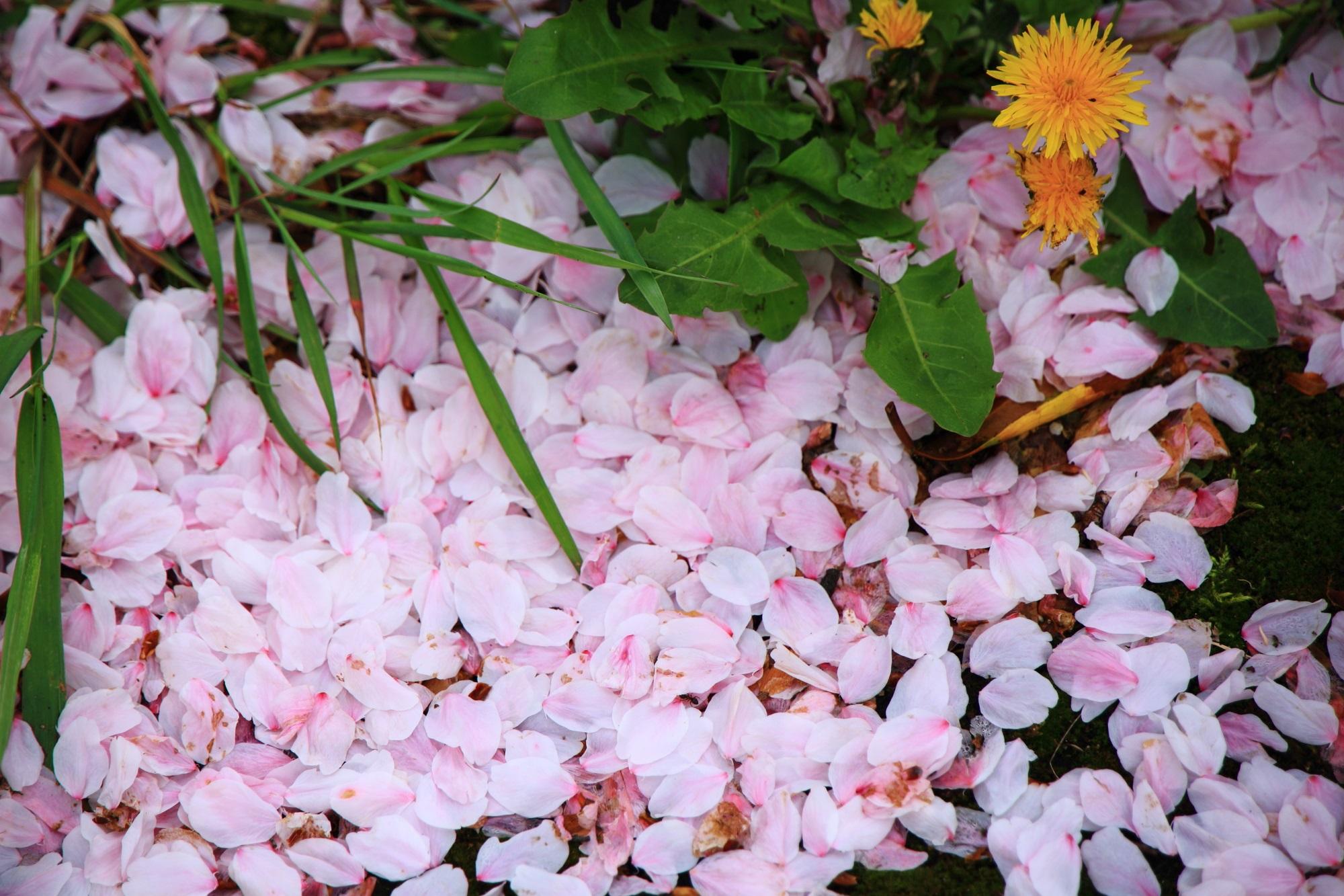 桜に埋もれたタンポポ