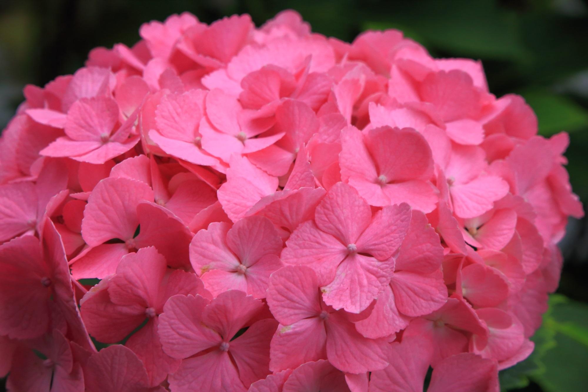 舞鶴自然文化園の煌くような鮮やかなピンクの紫陽花