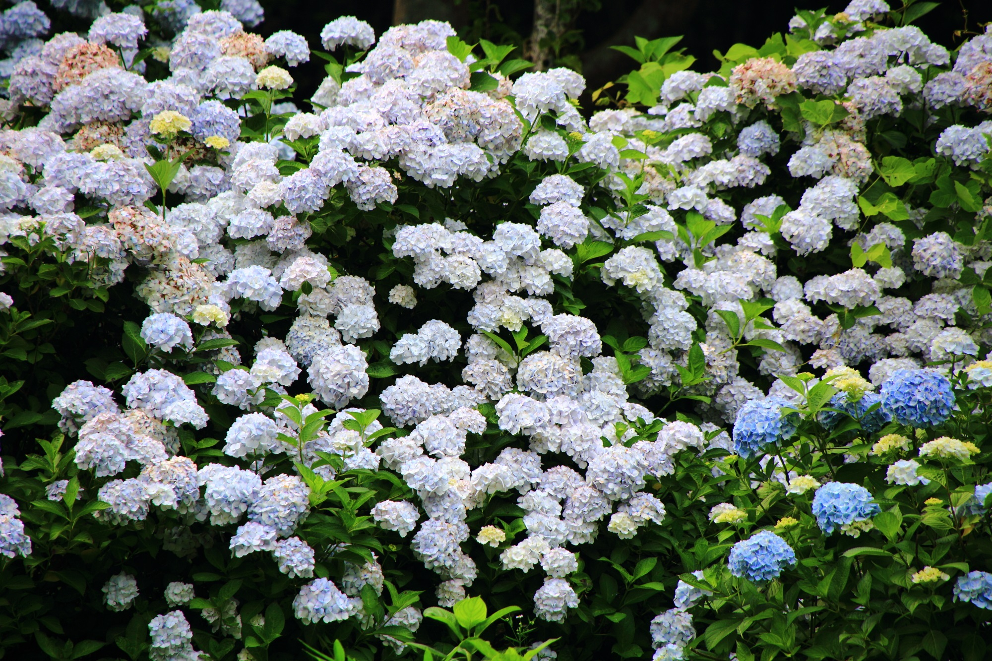 hydrangea in Maizuru Floral and Green Public Corporation Kyoto,Japan