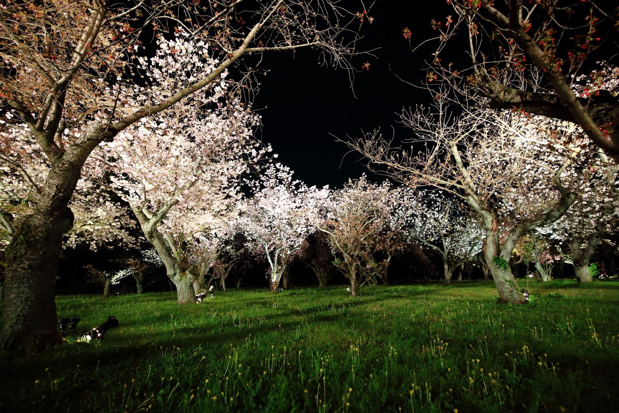 桜の園の夜桜ライトアップ