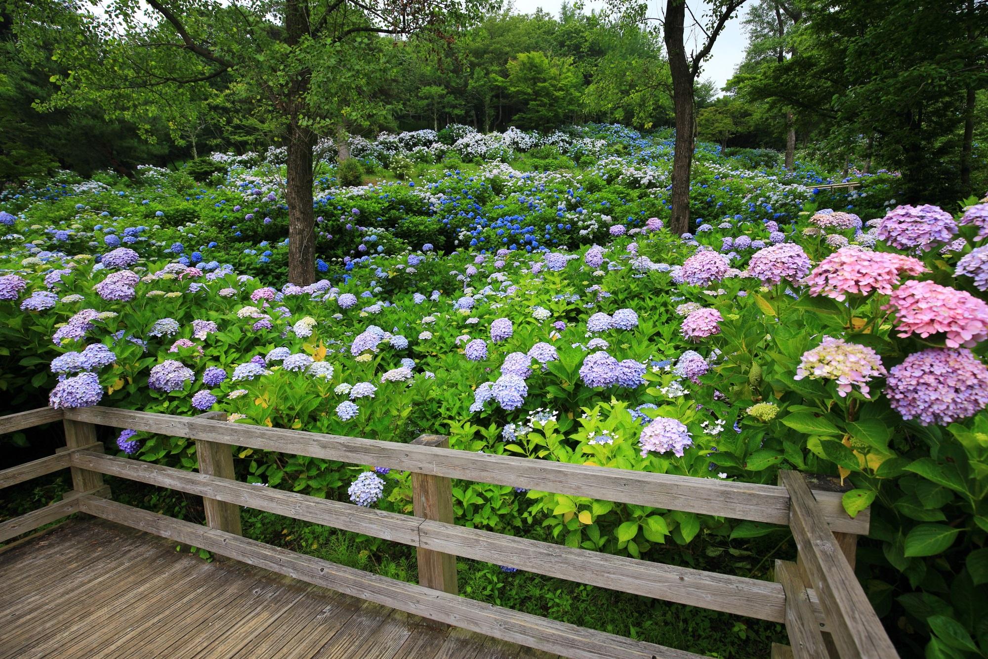 舞鶴自然文化園のアジサイ園の休憩所付近の絵になる紫陽花