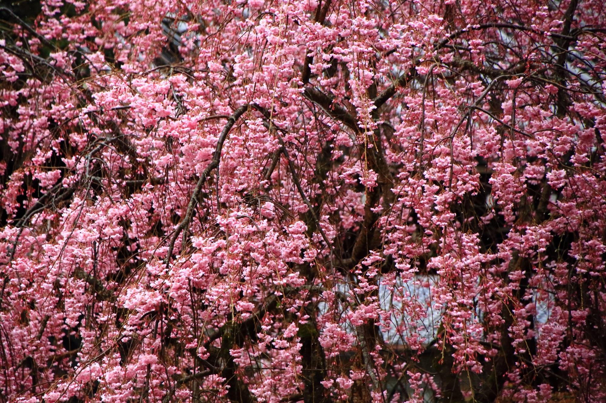 弾けんばかりに綺麗な花をいっぱい咲かせたしだれ桜