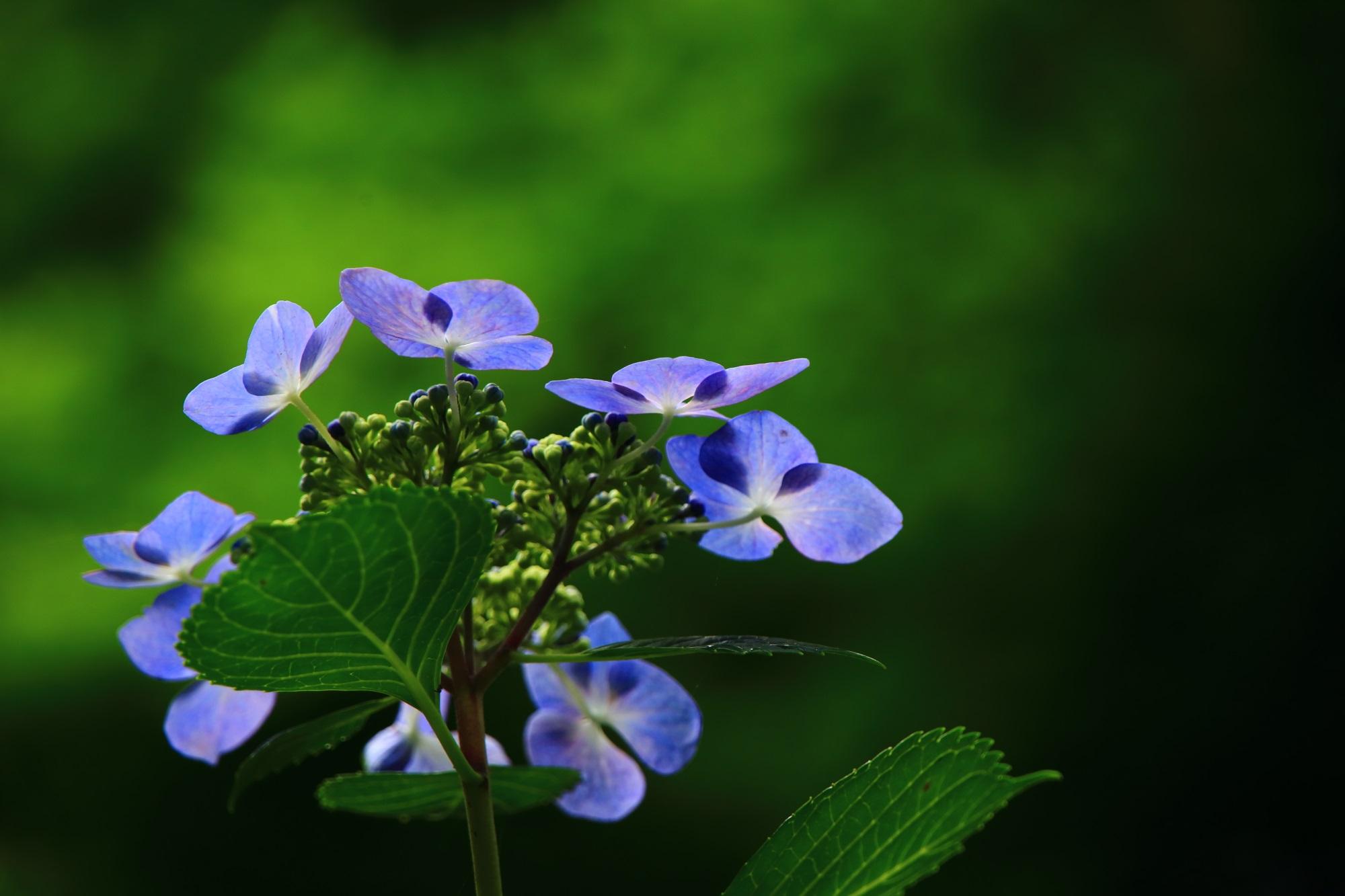 日を浴びて花が透けるような可愛い額紫陽花