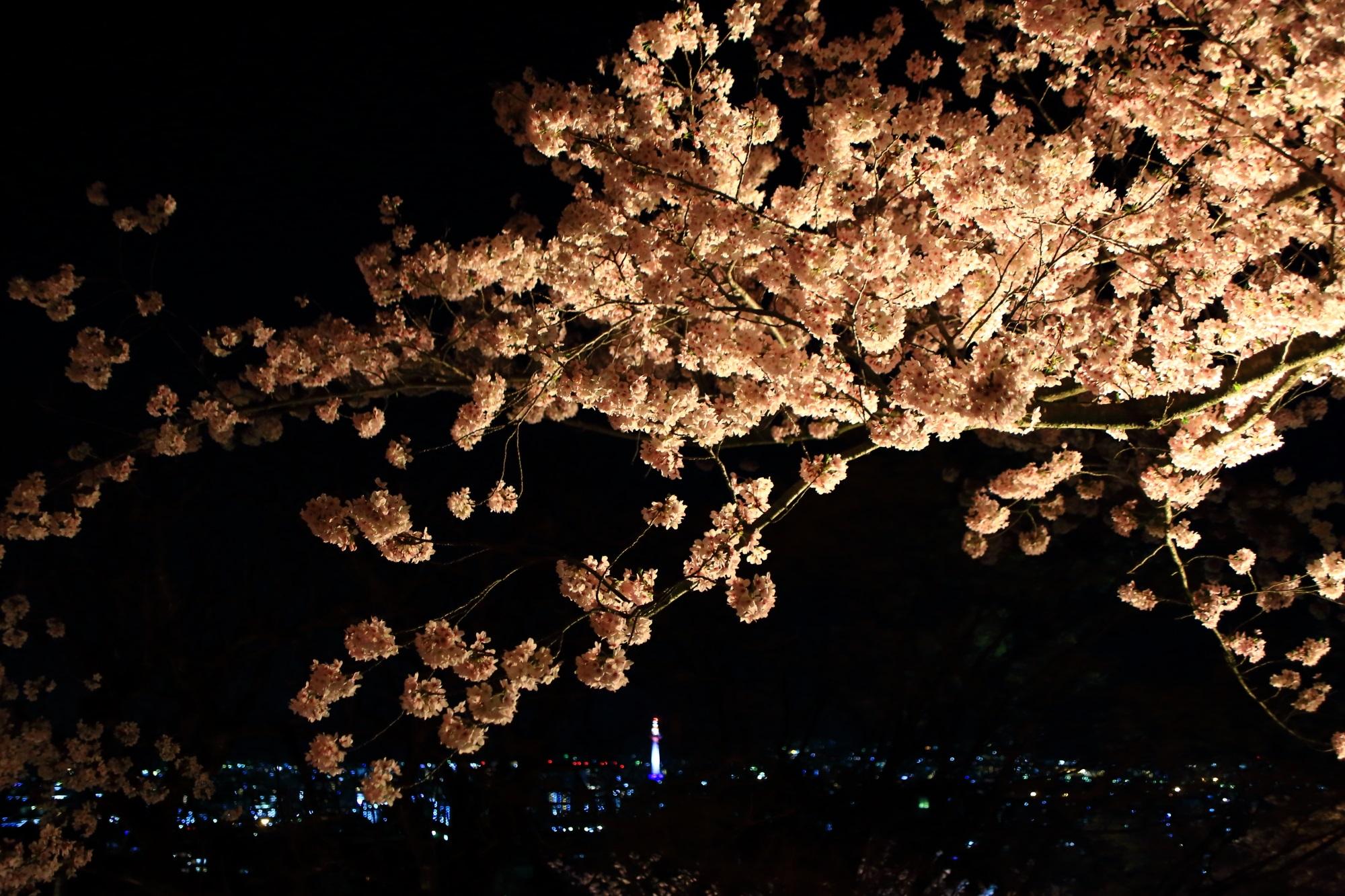 京都の夜景をつつむ満開の夜桜