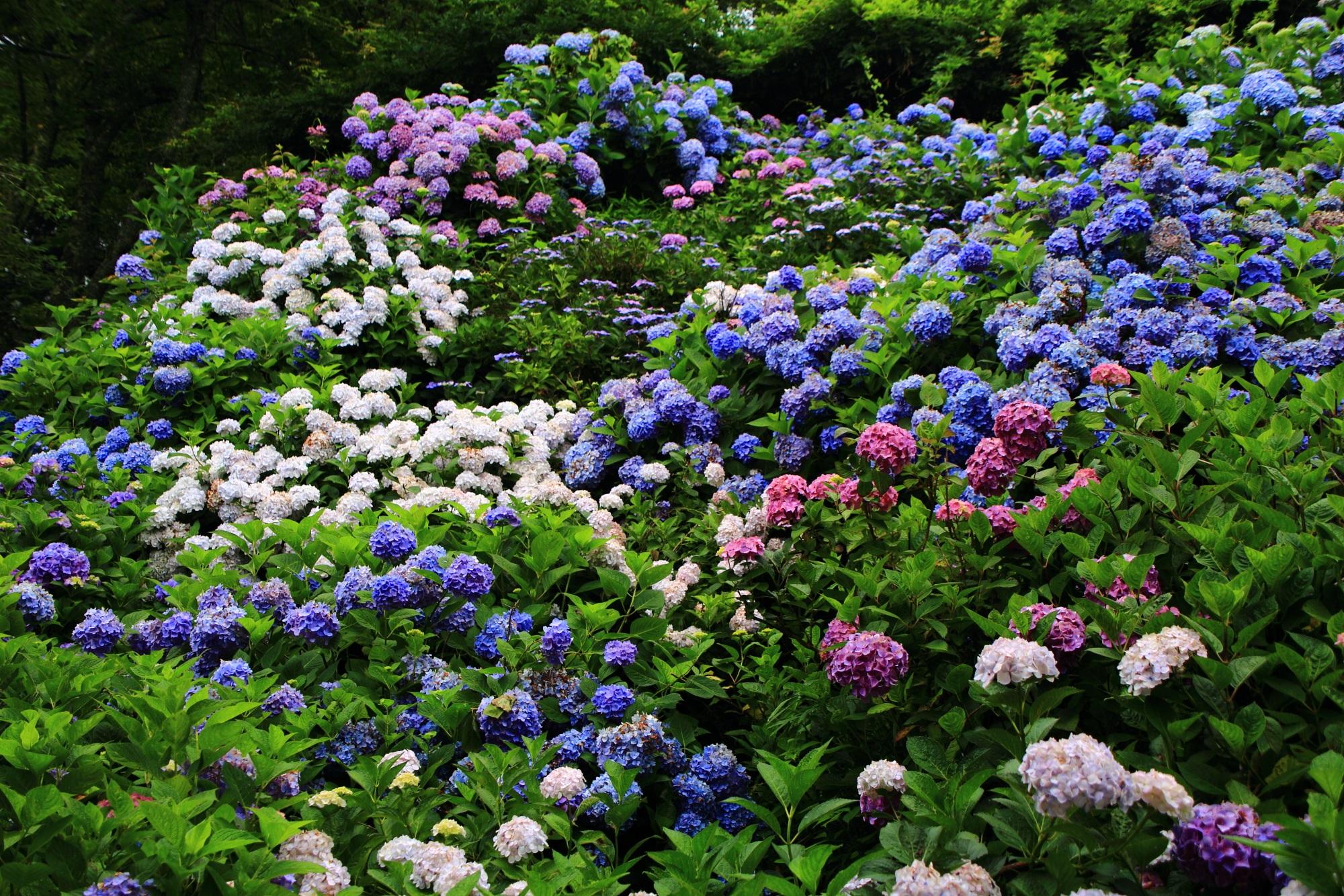 色とりどりの鮮やかな紫陽花につつまれる初夏の丹州観音寺