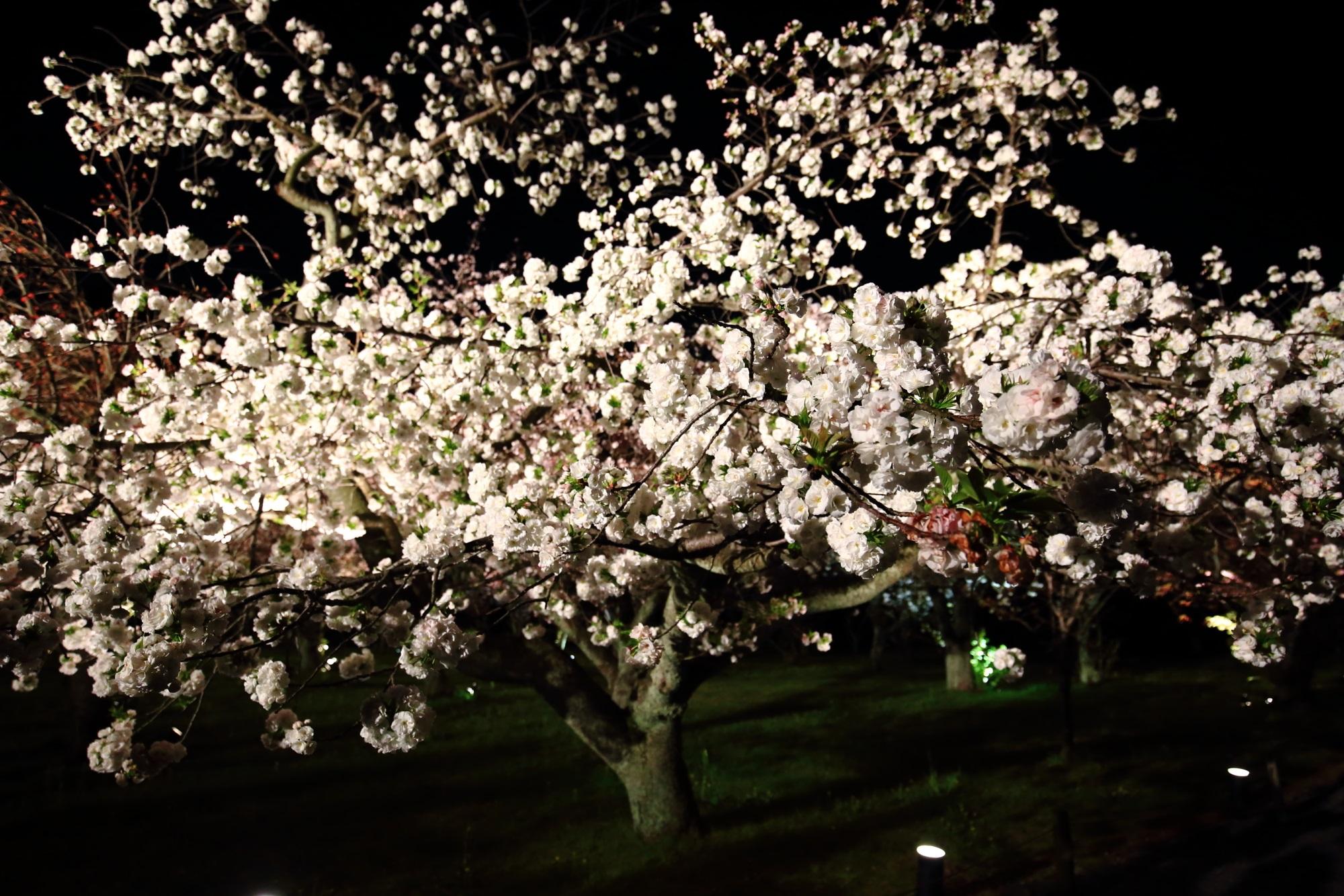 満開の八重桜につつまれる二条城の夜の桜の園