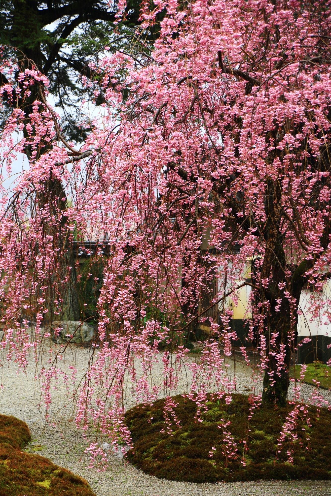 実相院の素晴らしい雨の桜と春の情景