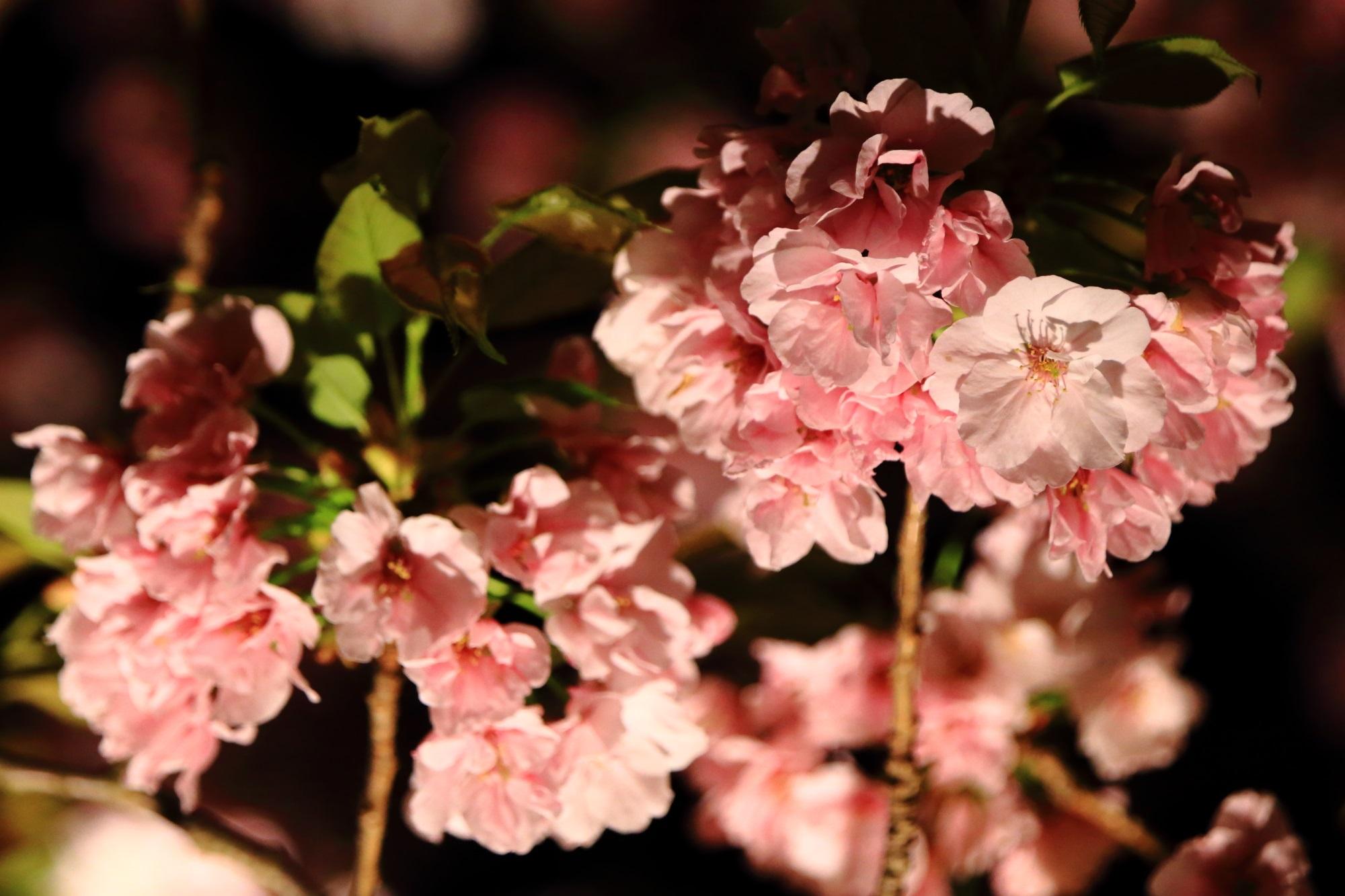 ライトアップされるほのかなピンクの八重桜