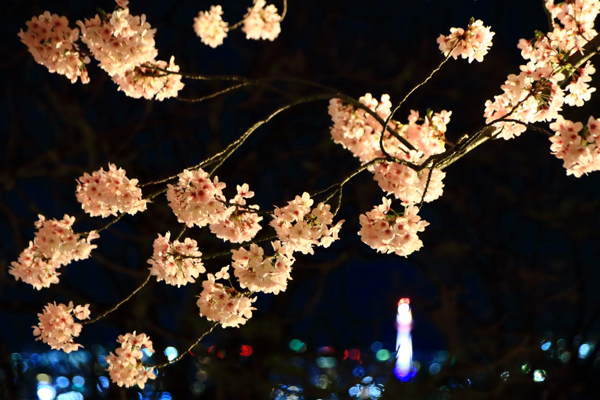 見事に咲き誇る夜桜とうっすら見える京都タワー