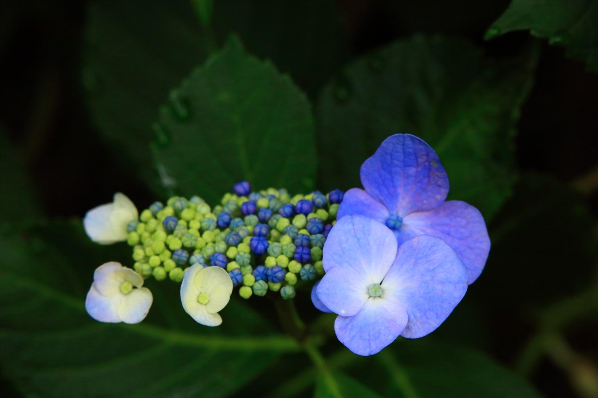 開花中の不思議な額紫陽花