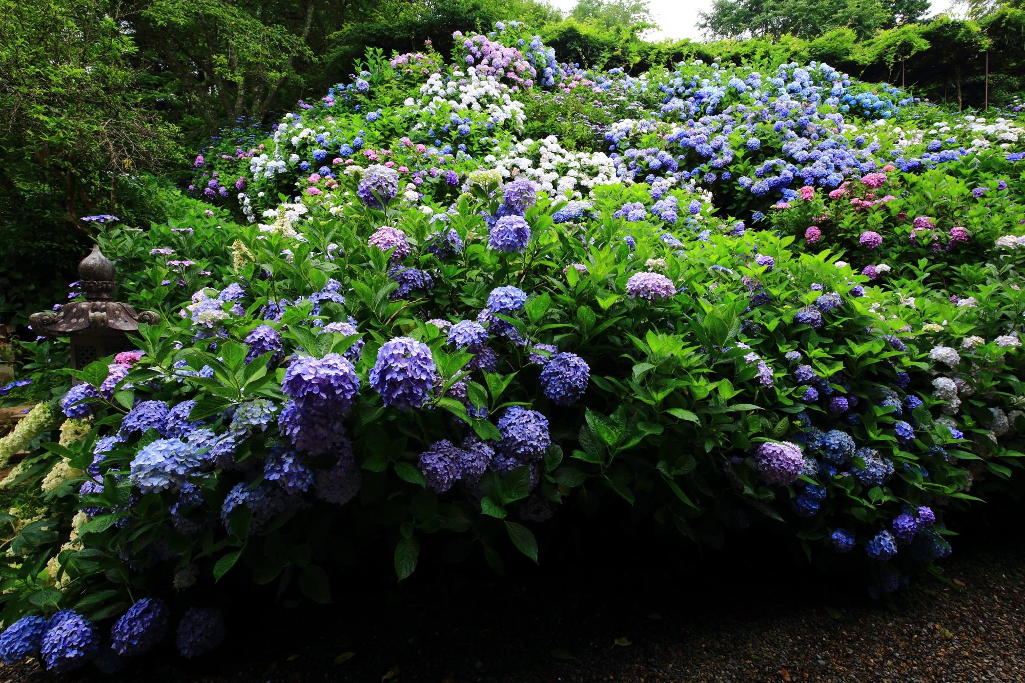 処狭しと咲き誇る丹州観音寺の紫陽花