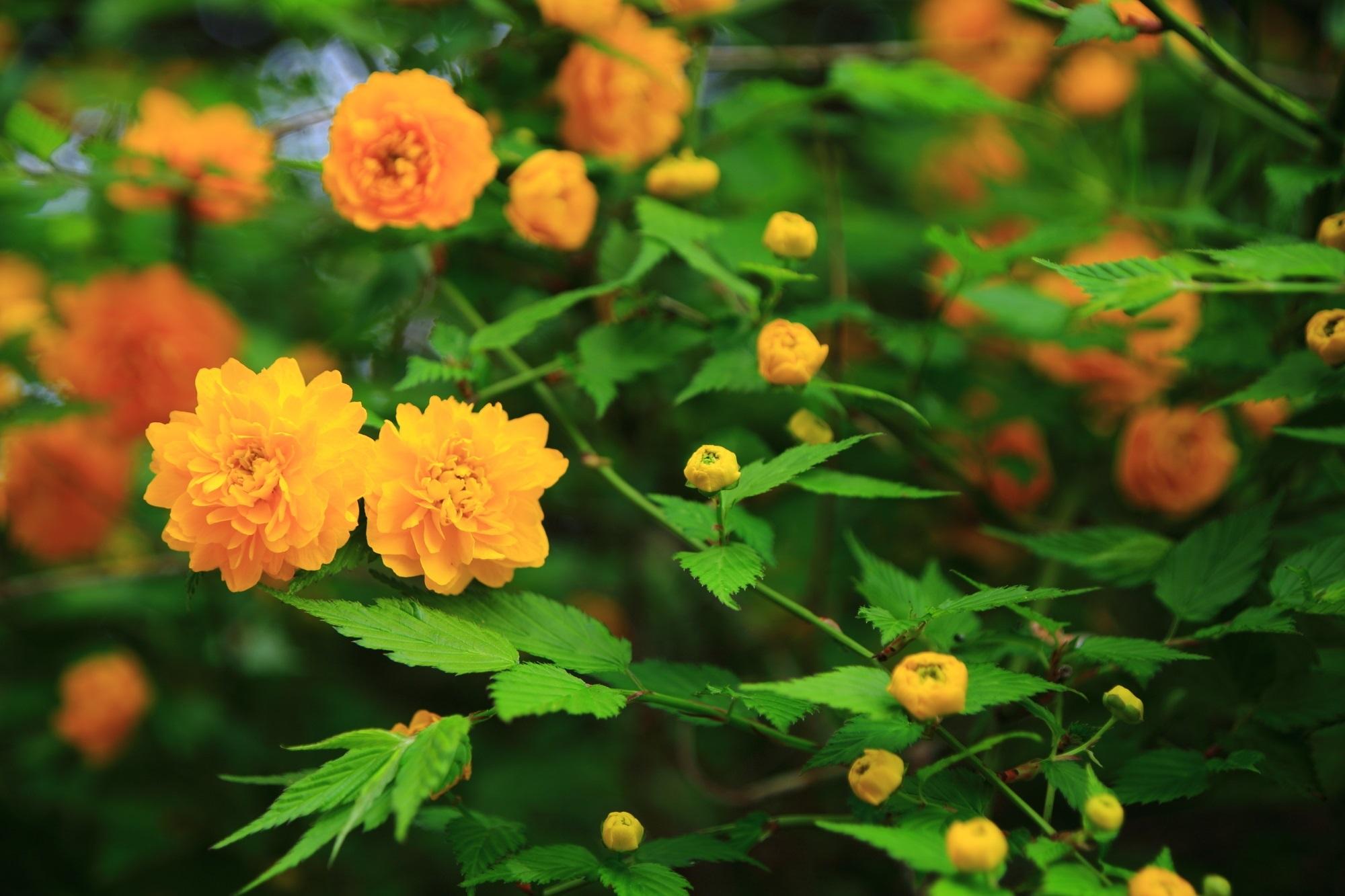 願徳寺の綺麗に咲く山吹