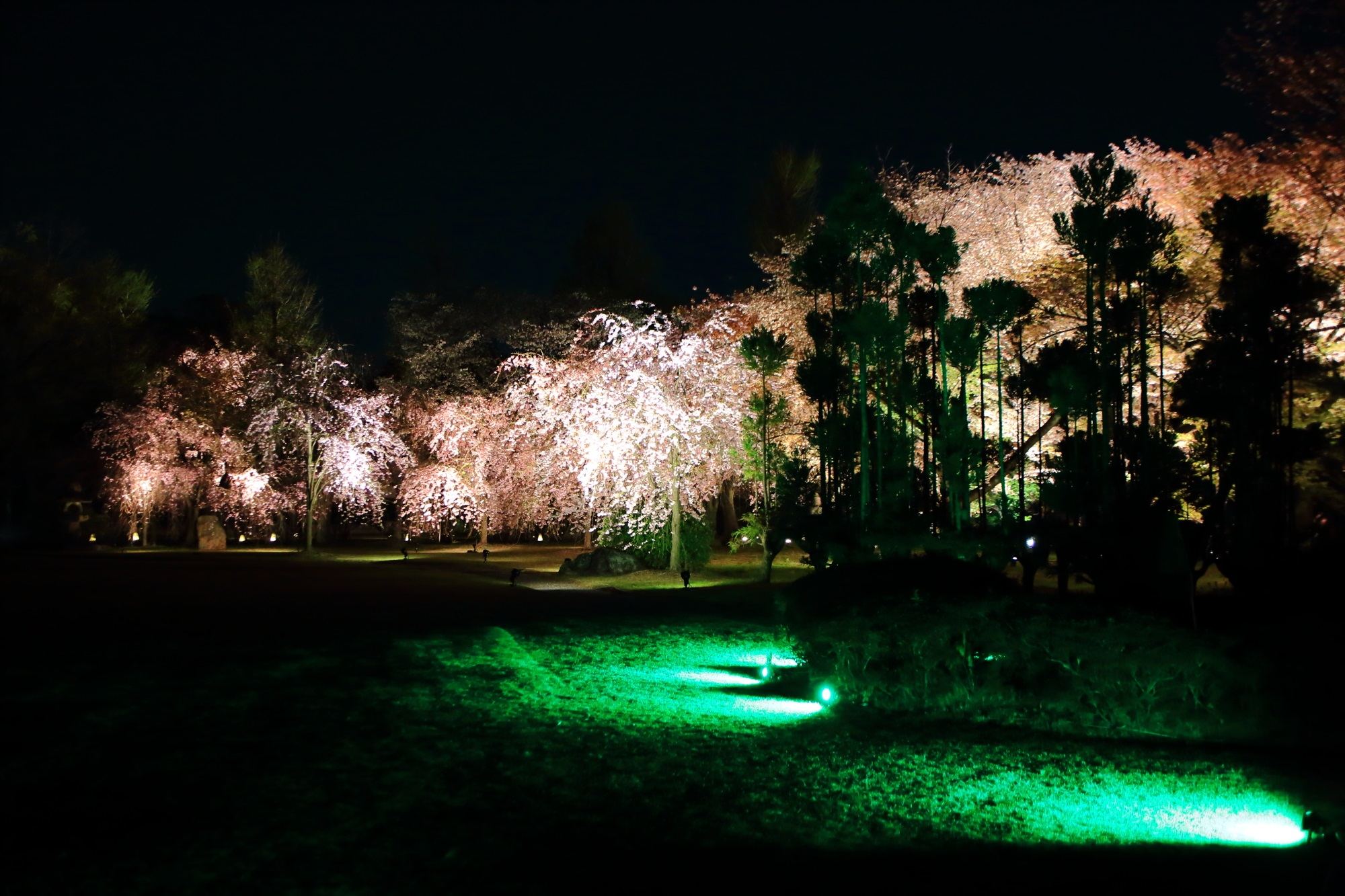 華やかな夜桜を演出する多種多様な木々